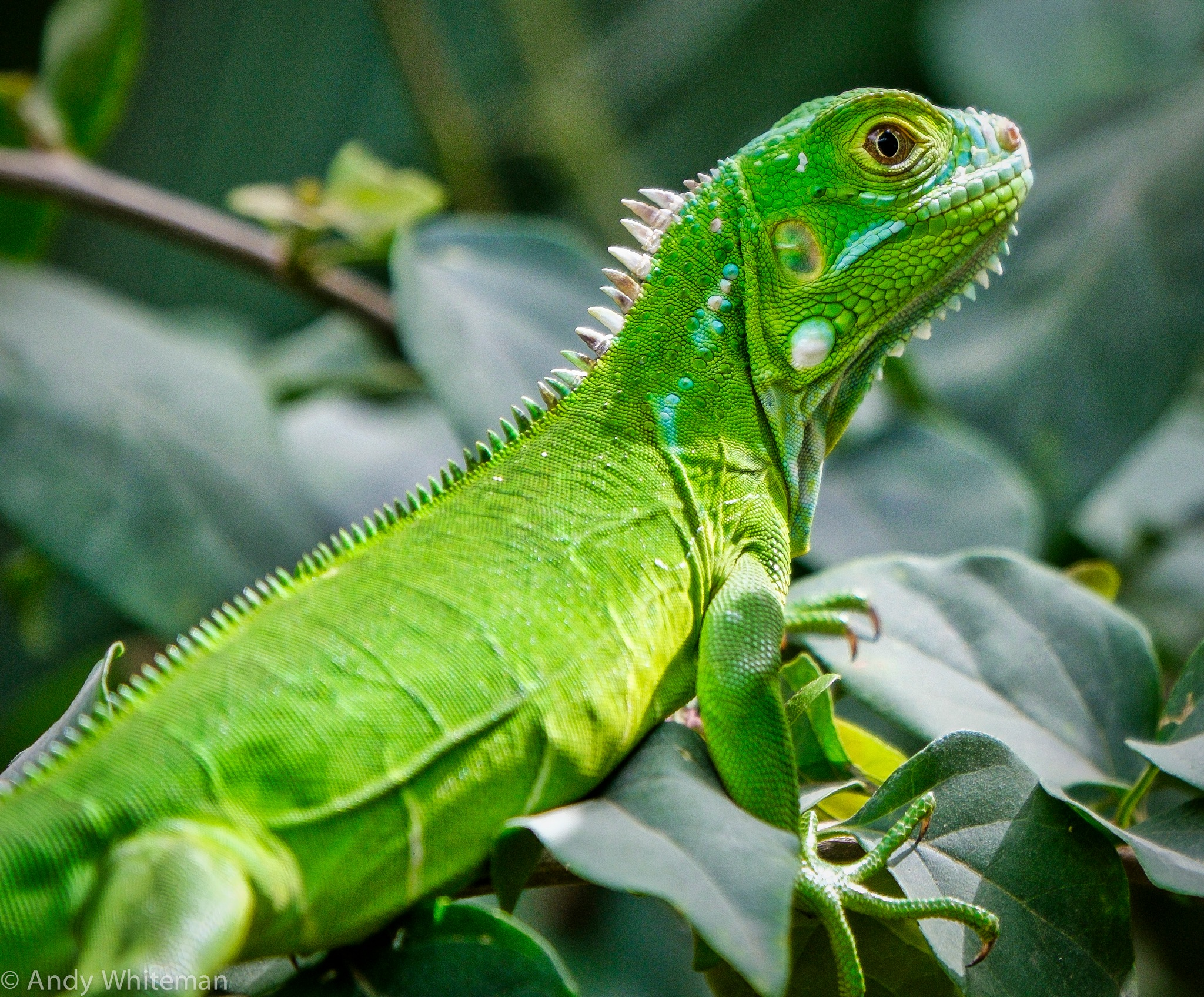 Green Iguana in my Garden by Smilin' Dog