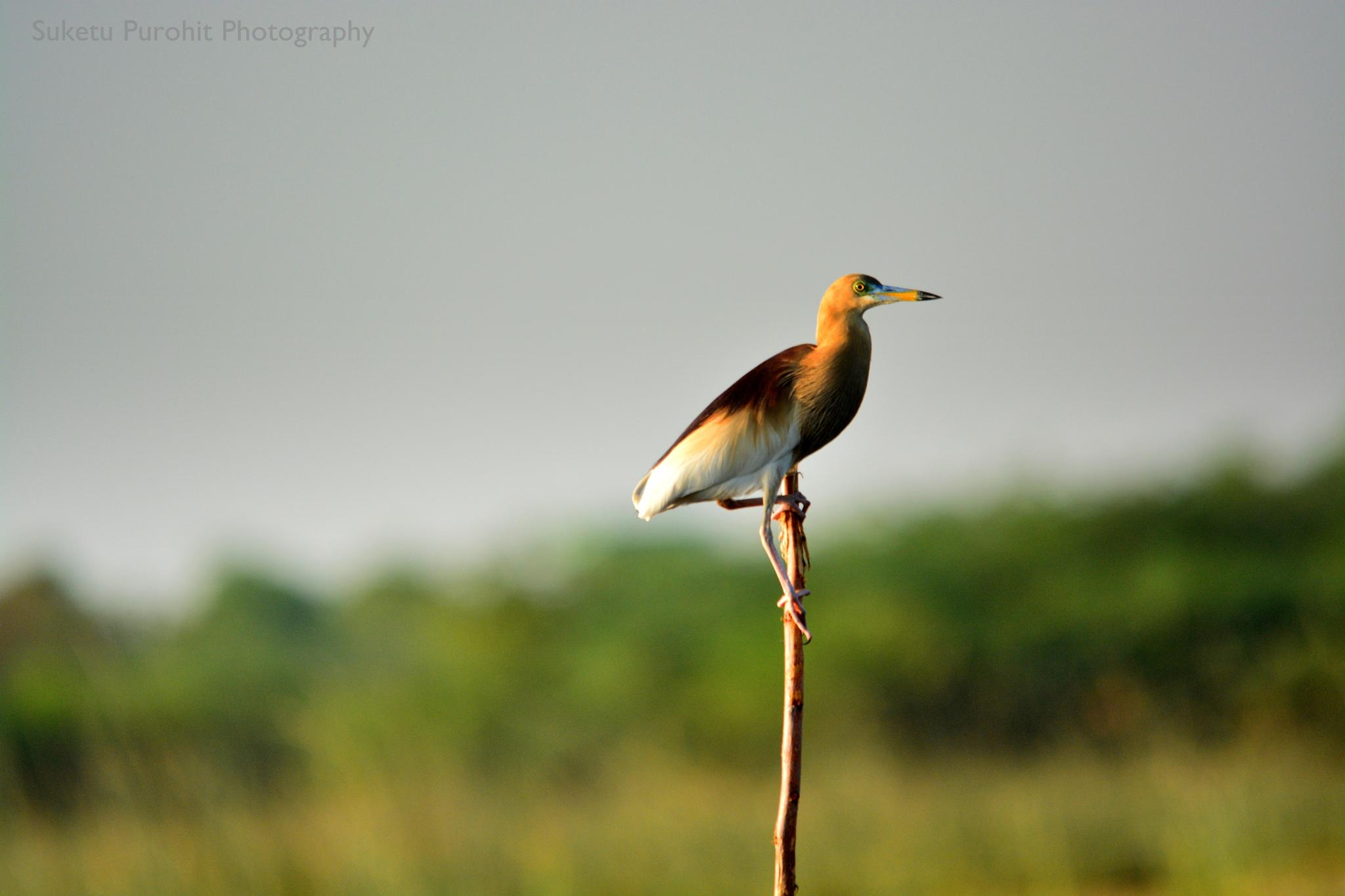 Bird on a branch by Suketu Purohit