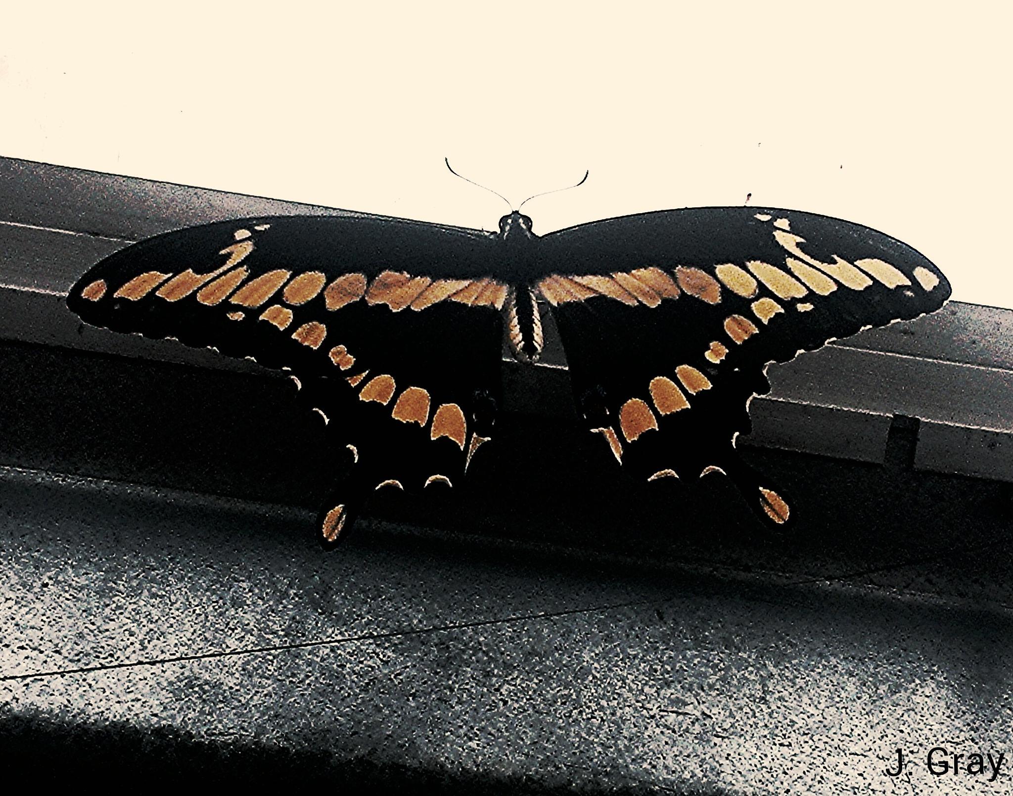 swallowtail butterfly by jpetree2