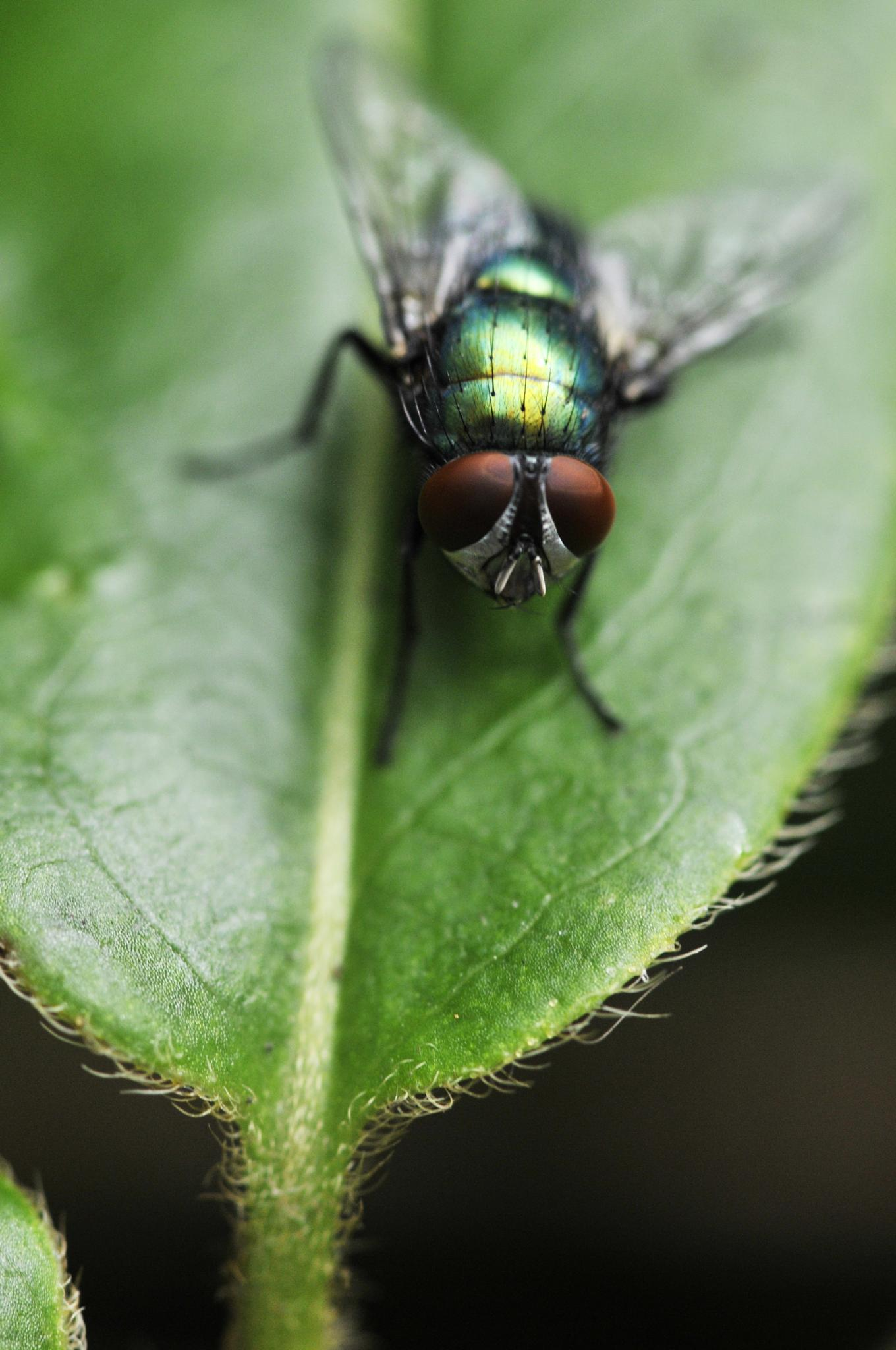 Photo in Nature #fly #unsure #leaf #furry #hairy #away #wings #ready #nature #outside #garden #green #red #eyes #silver