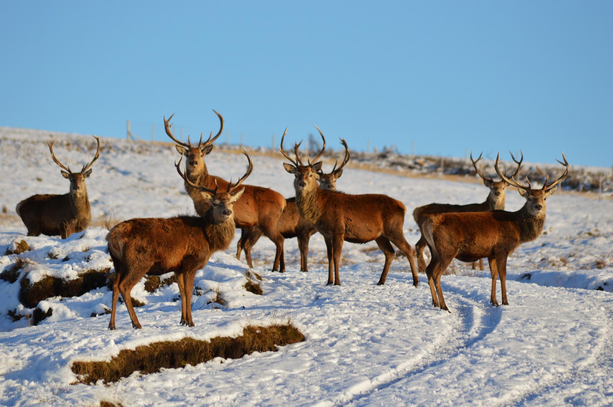 Red Deer Stag herd near Kinbrace in Sutherland, Scottish Highlands by garybr66