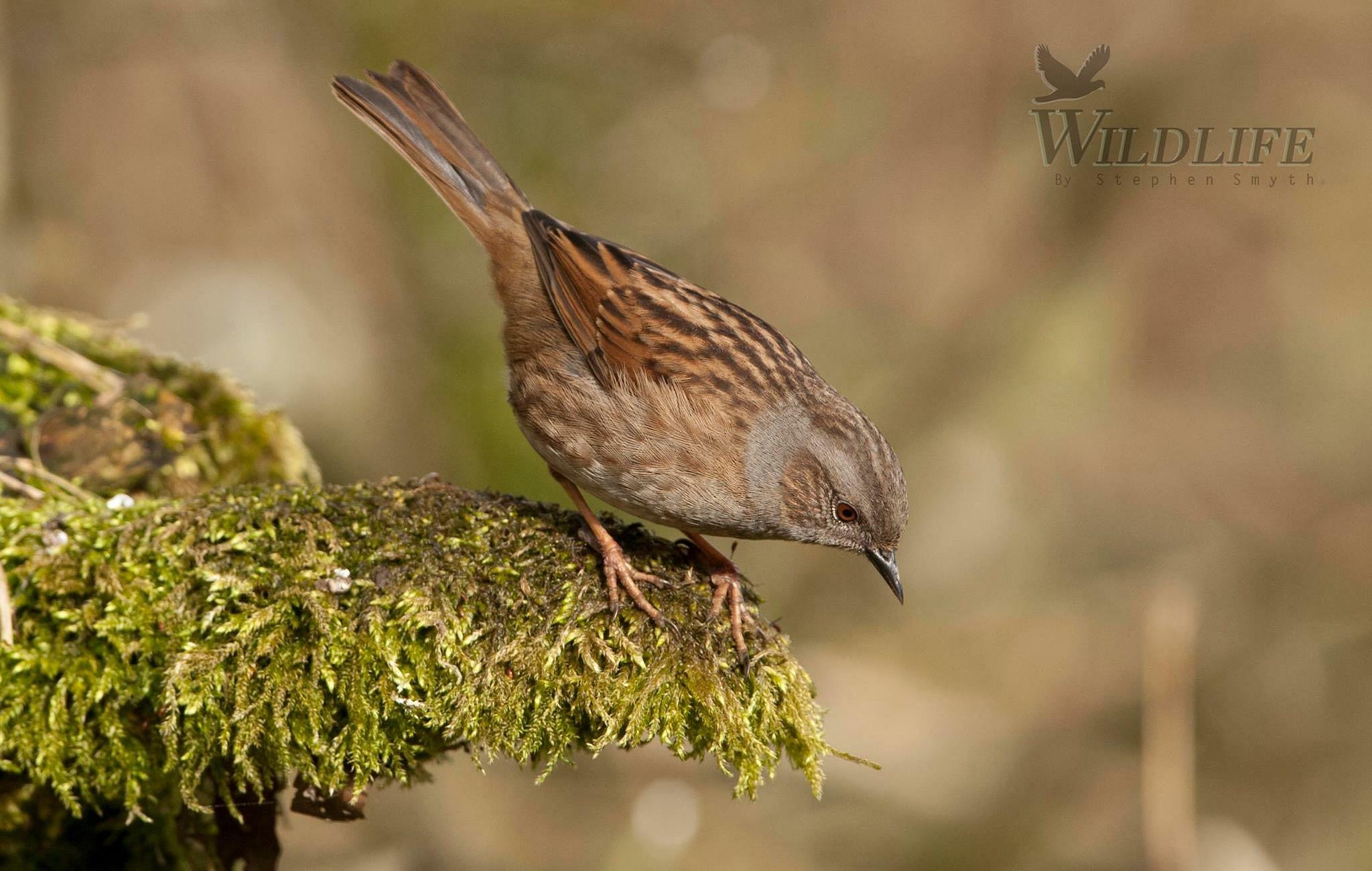 Dunnock by Stephen Smyth