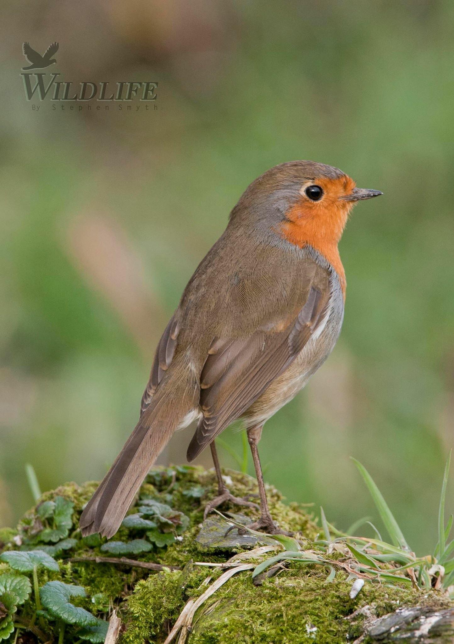 Robin. by Stephen Smyth