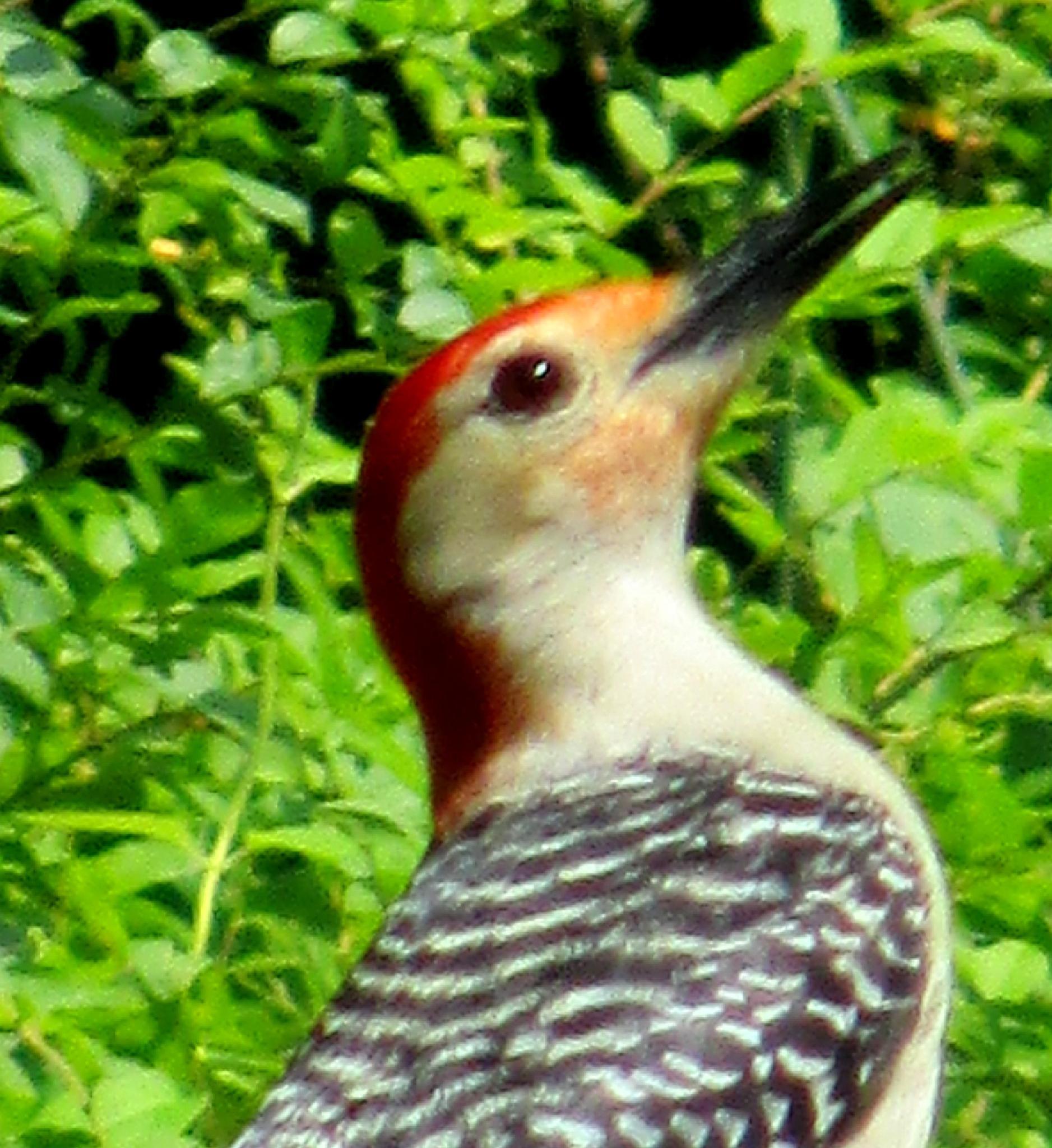 Woodpecker by Zany Dee