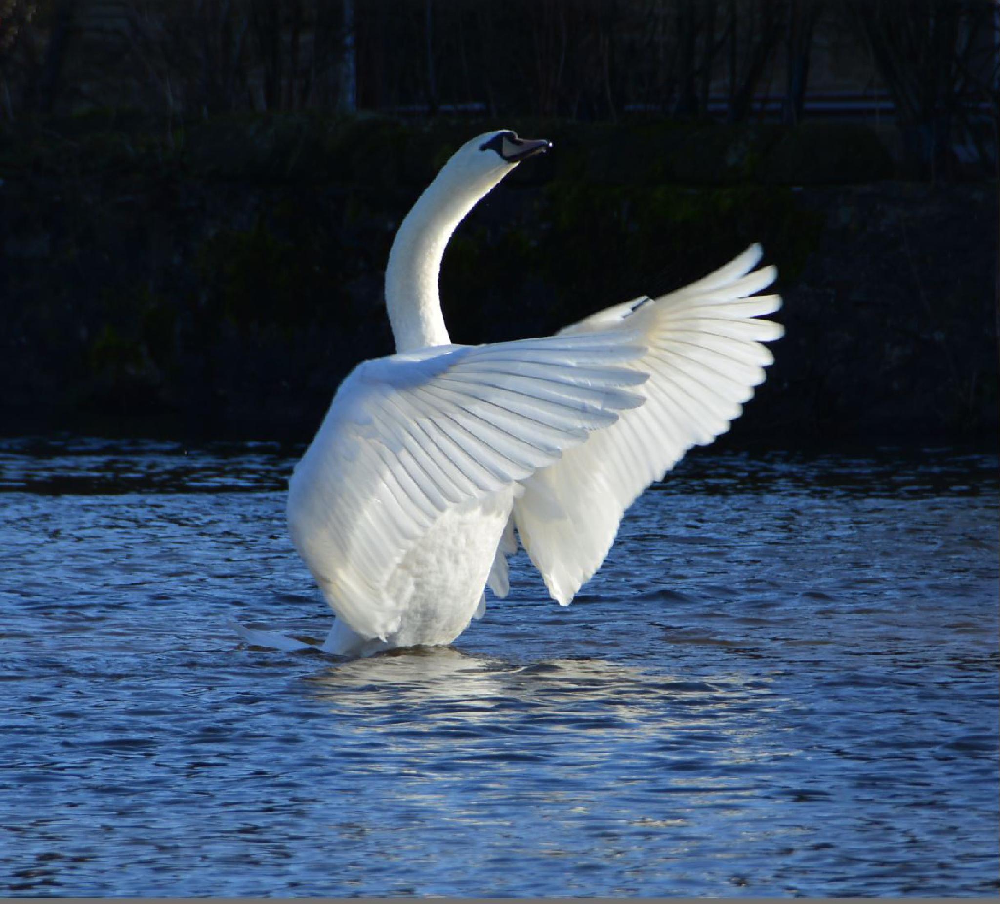 Dancing Swan by vincent mcnutt