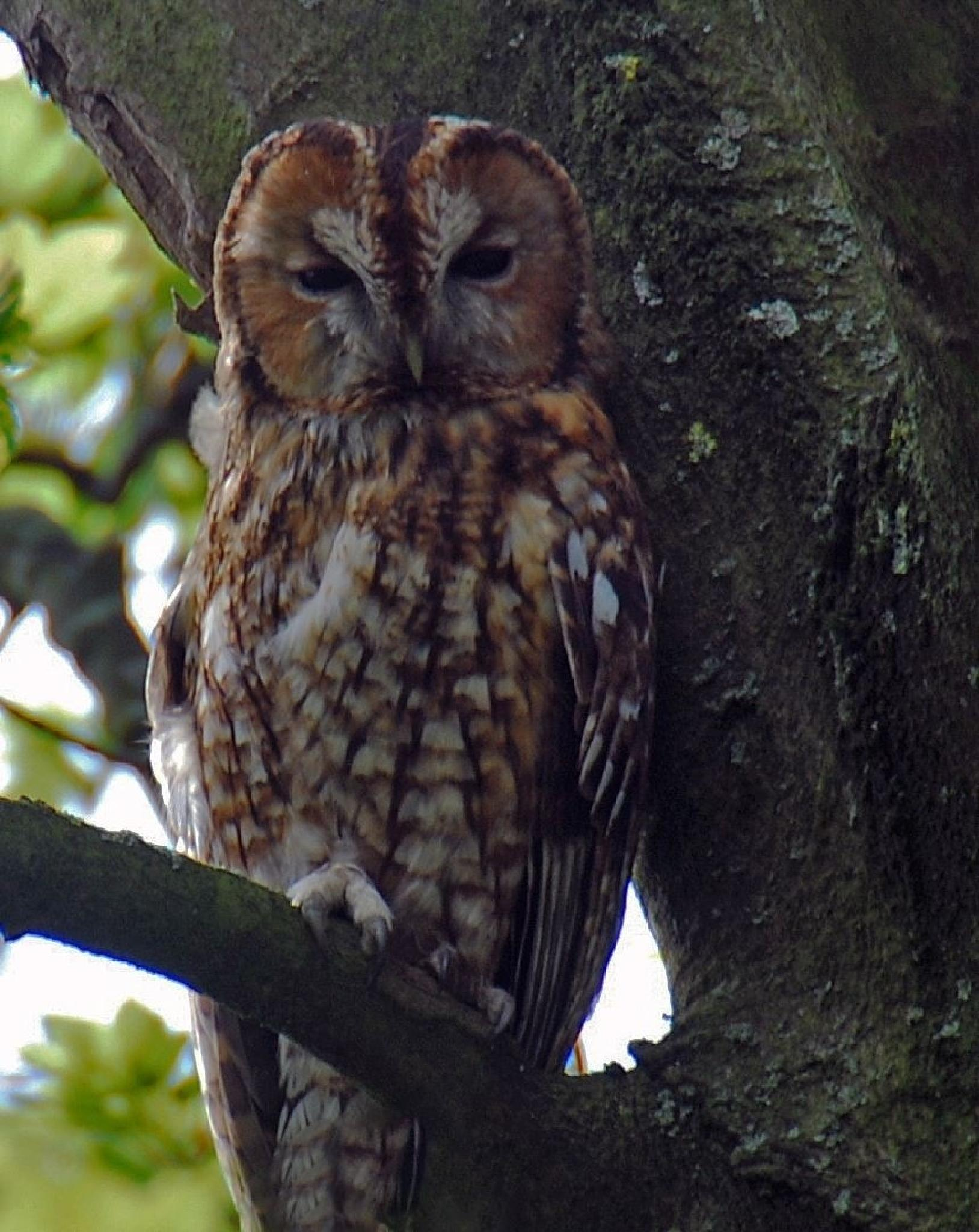 Tawny owl by vincent mcnutt