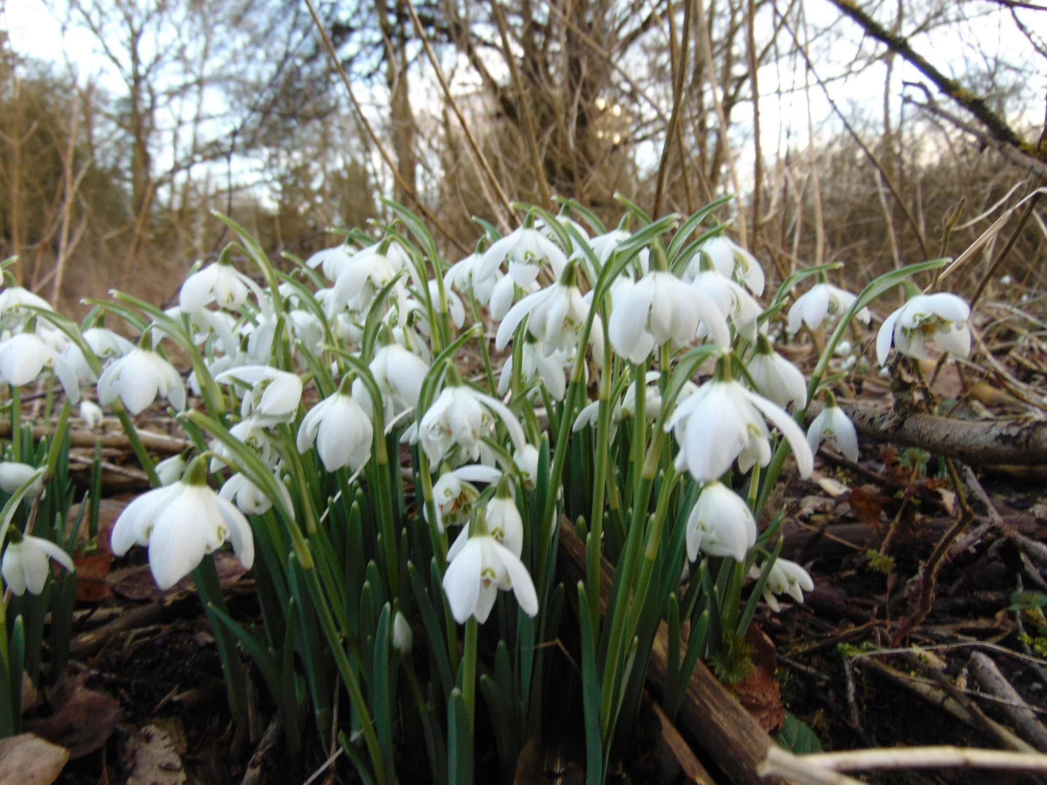 Snowdrops in spring time  by ruth.holland.94
