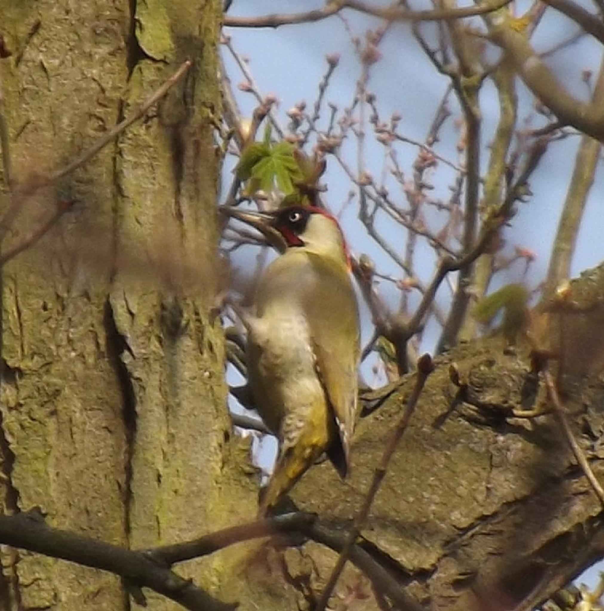 Green Woodpecker by ruth.holland.94