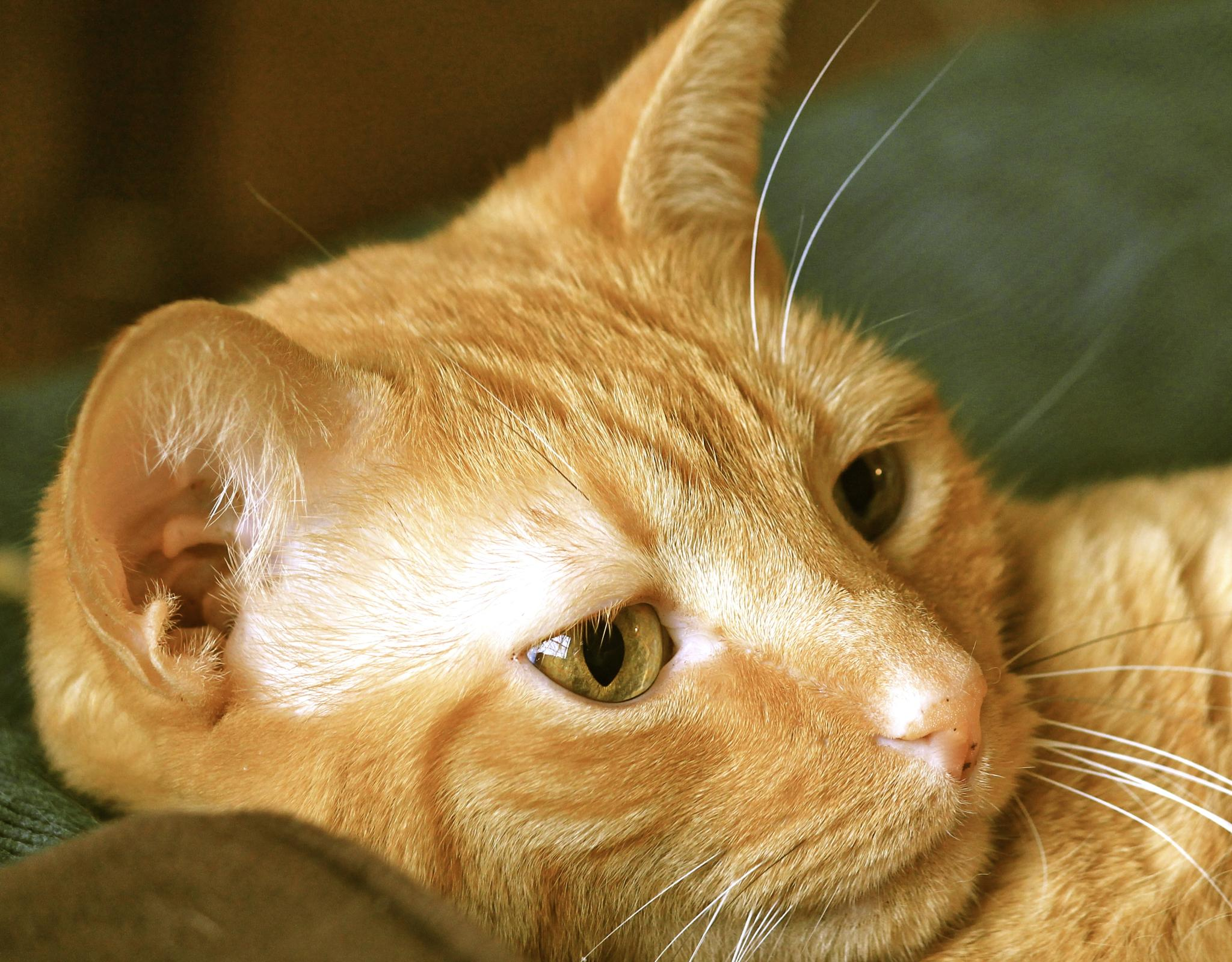 Zippo the yellow cat  by jmedlin61