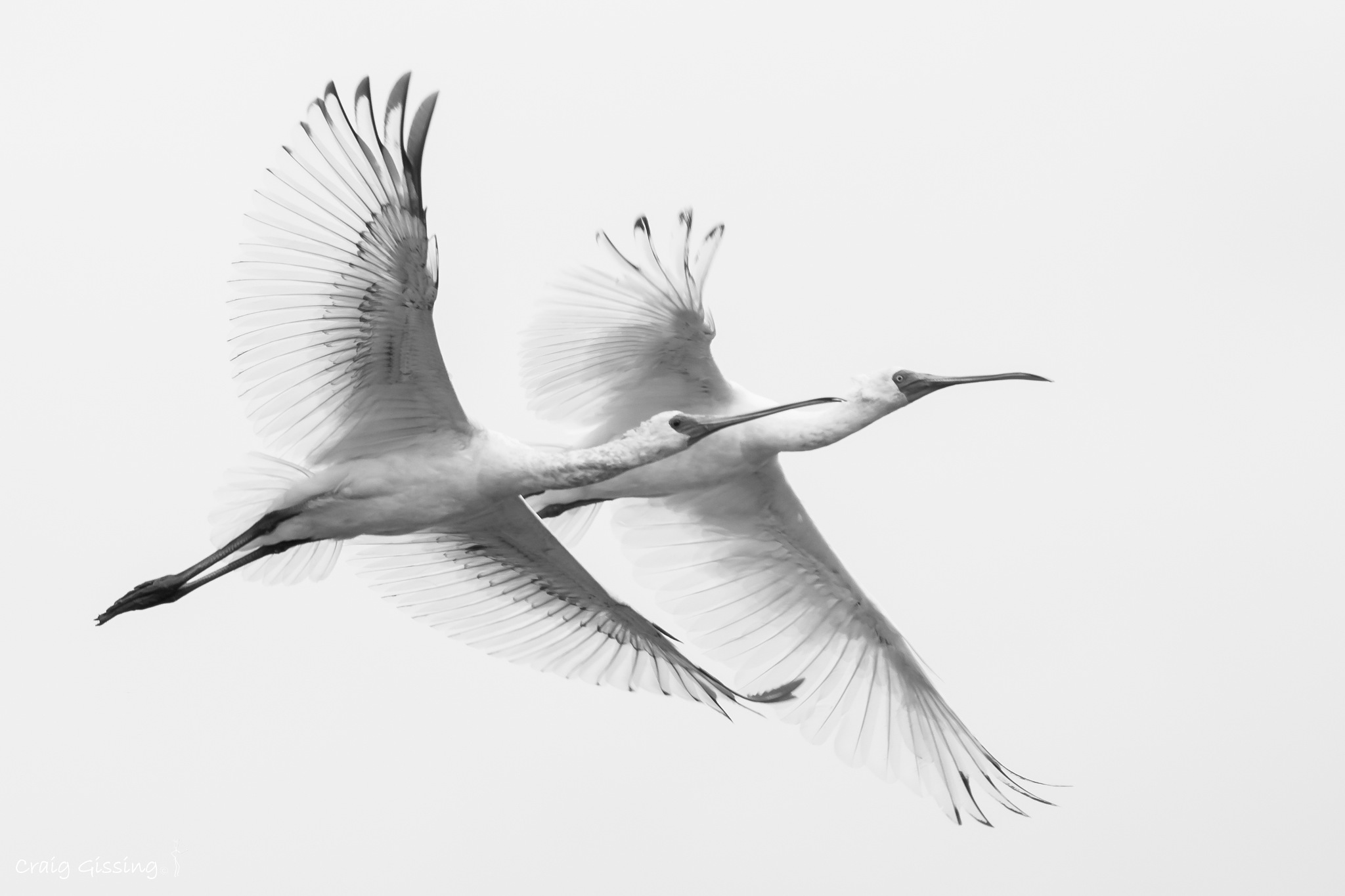 African Spoonbill in flight by craig.gissing