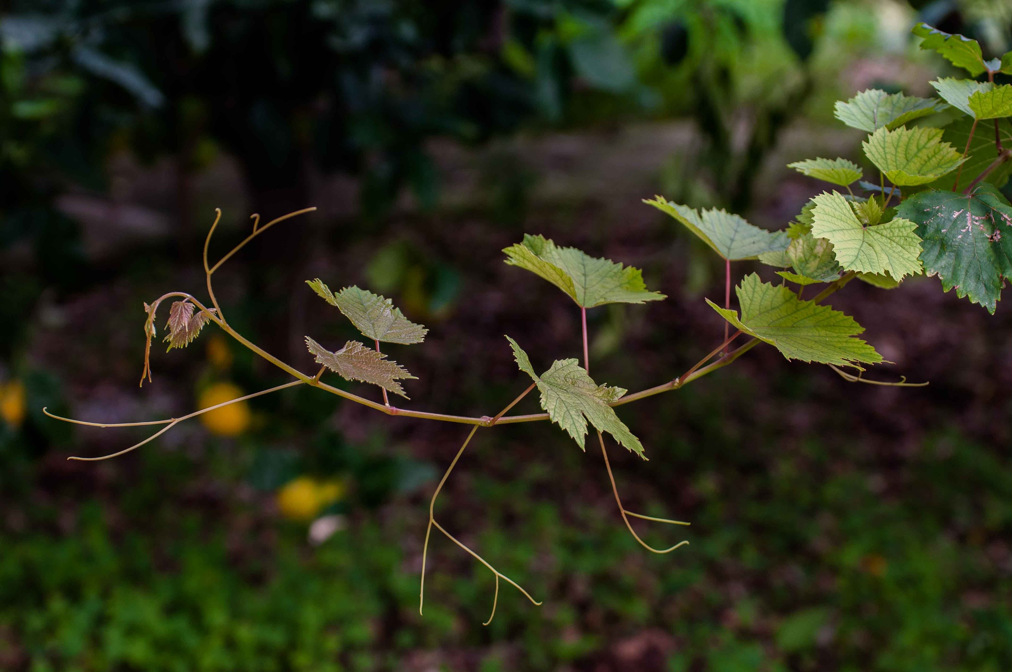 the vine branch by gaetano.pistoia.14