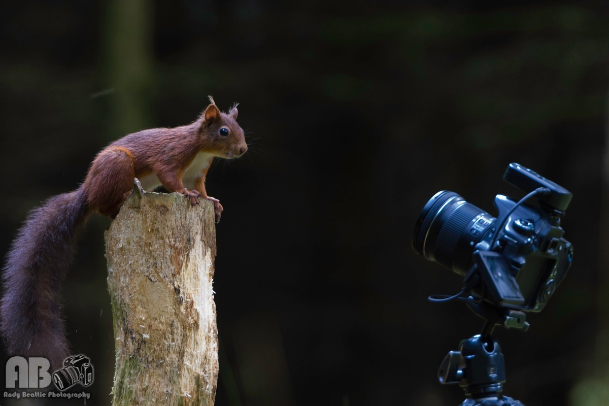 European Red Squirrel by Andy Beattie Photography