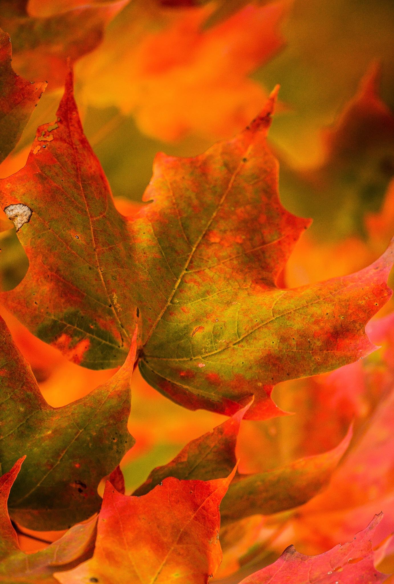 Maple Leaf In Flight by kajen746