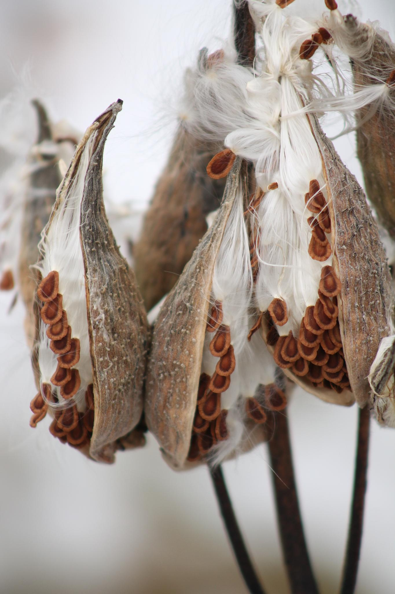 Three Milkweed Pods by kajen746