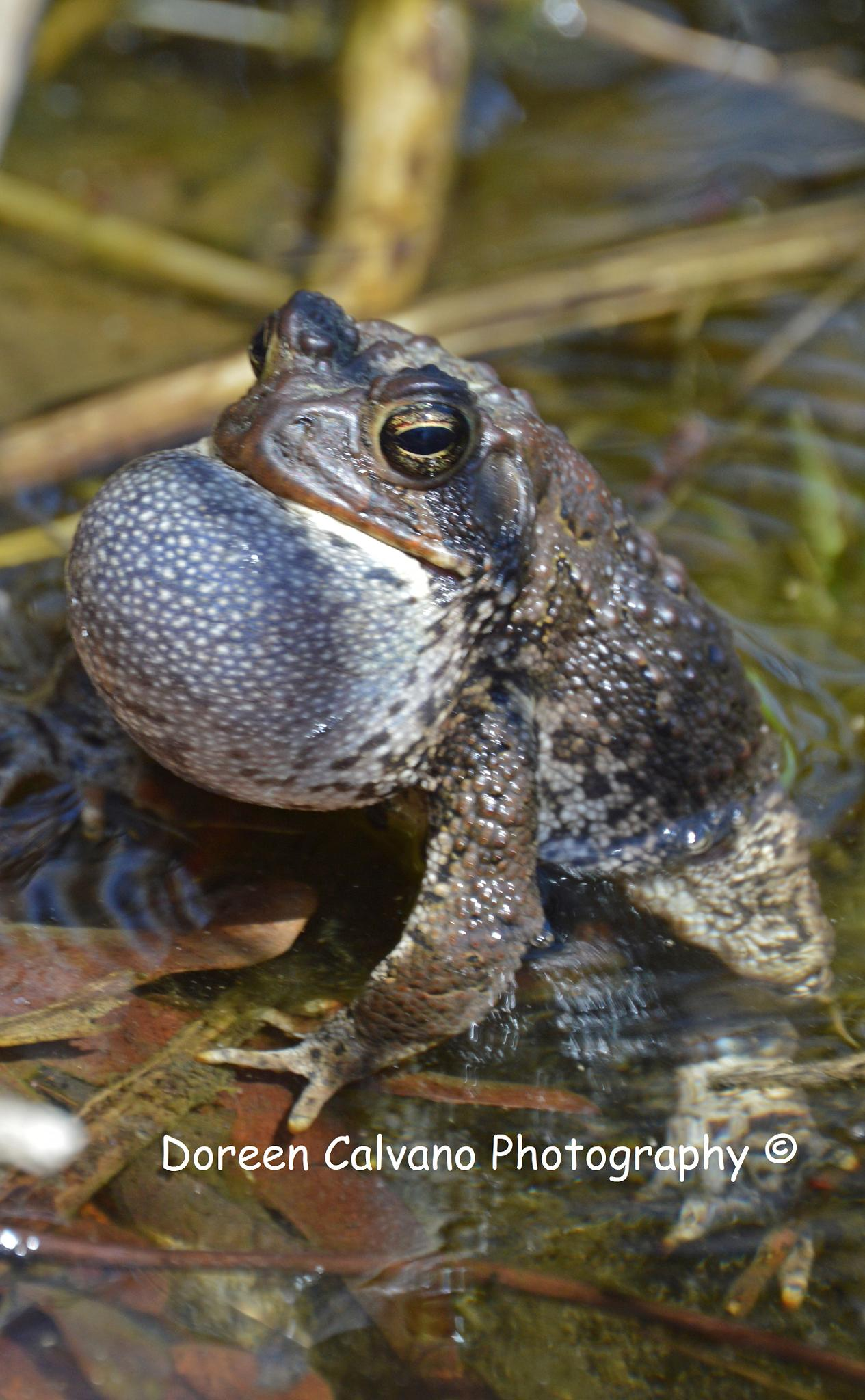 Photo in Nature #frog #toad #pond #croaking #amphibians