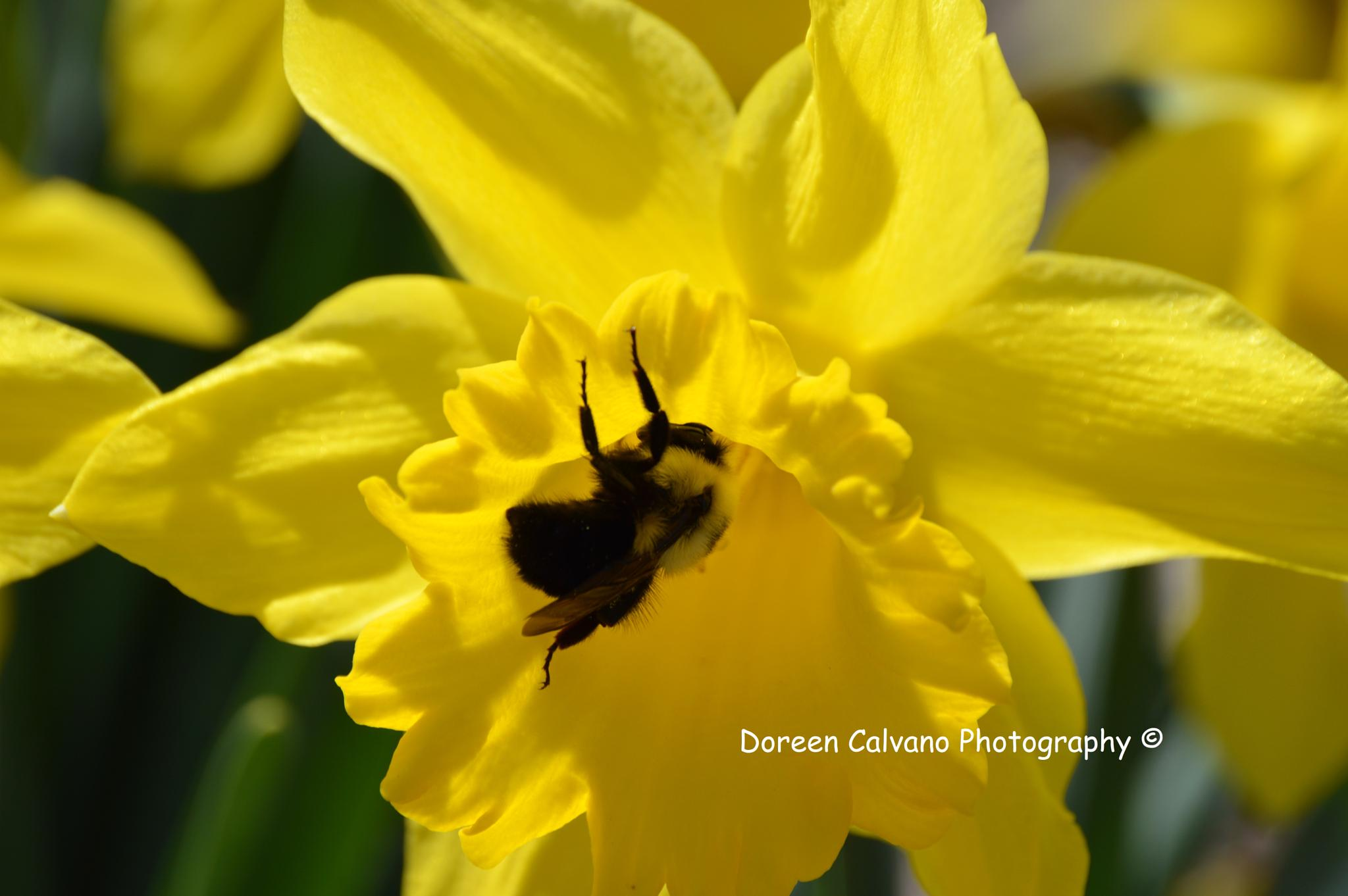 Photo in Nature #bee #bees #daffodil #daffodils #yellow #perennials #gardens #aboritorium