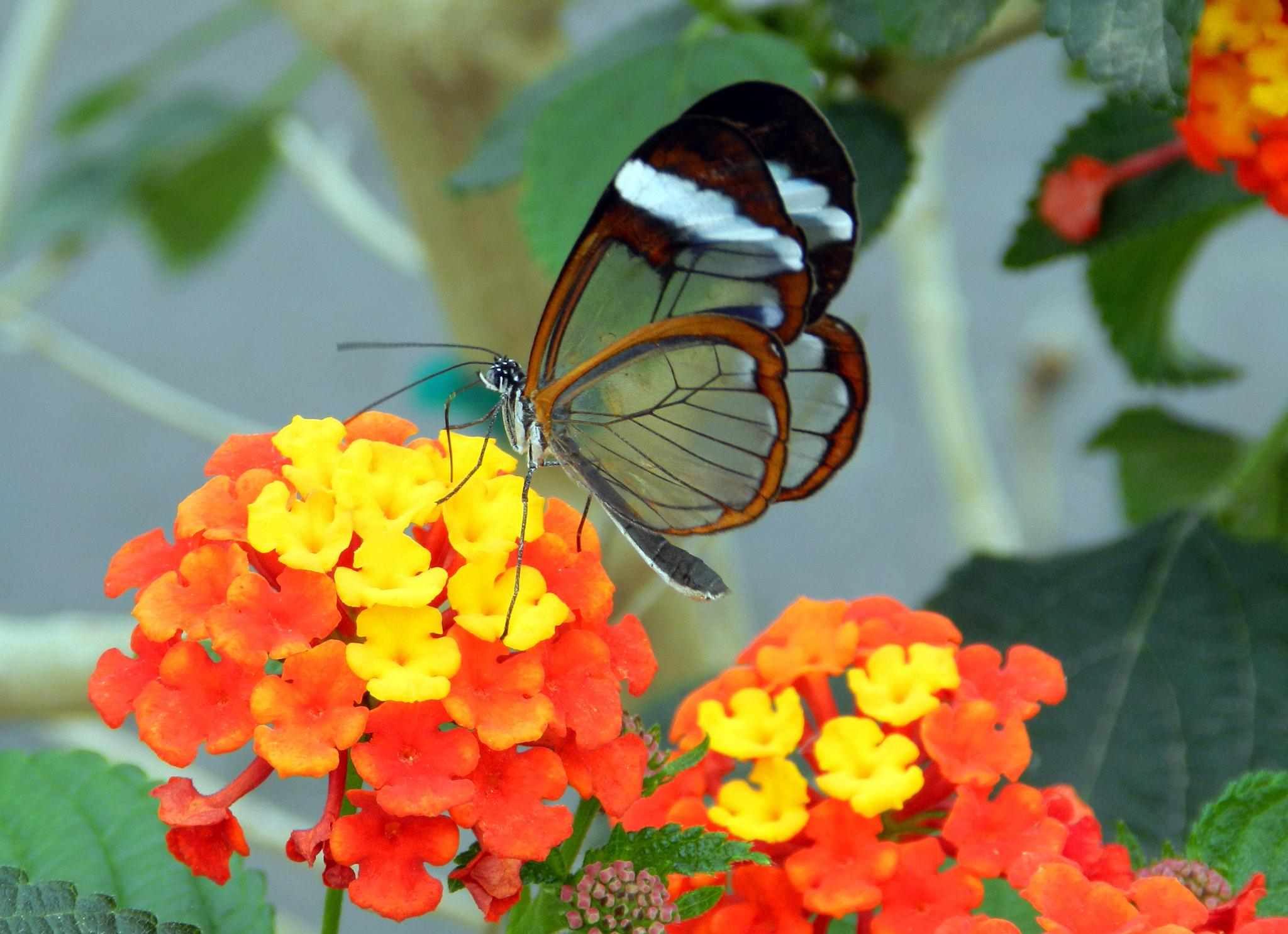 Glass Wing Butterfly by doreen.c.calvano