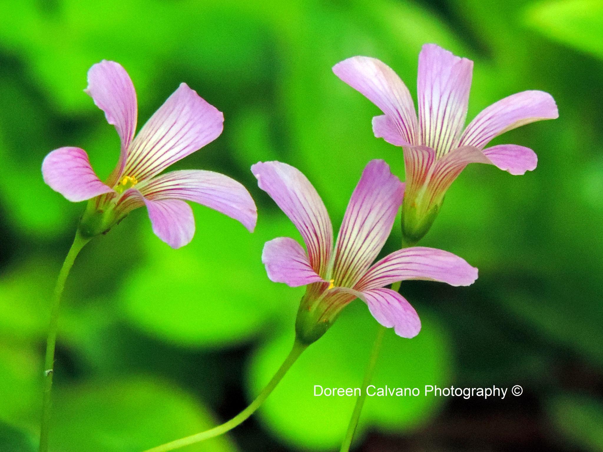 Beautiful Purple Posies by doreen.c.calvano