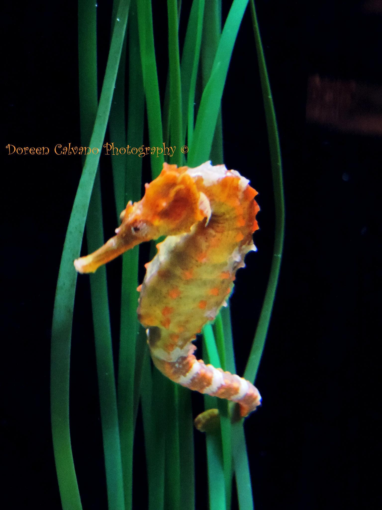 Seahorse by doreen.c.calvano