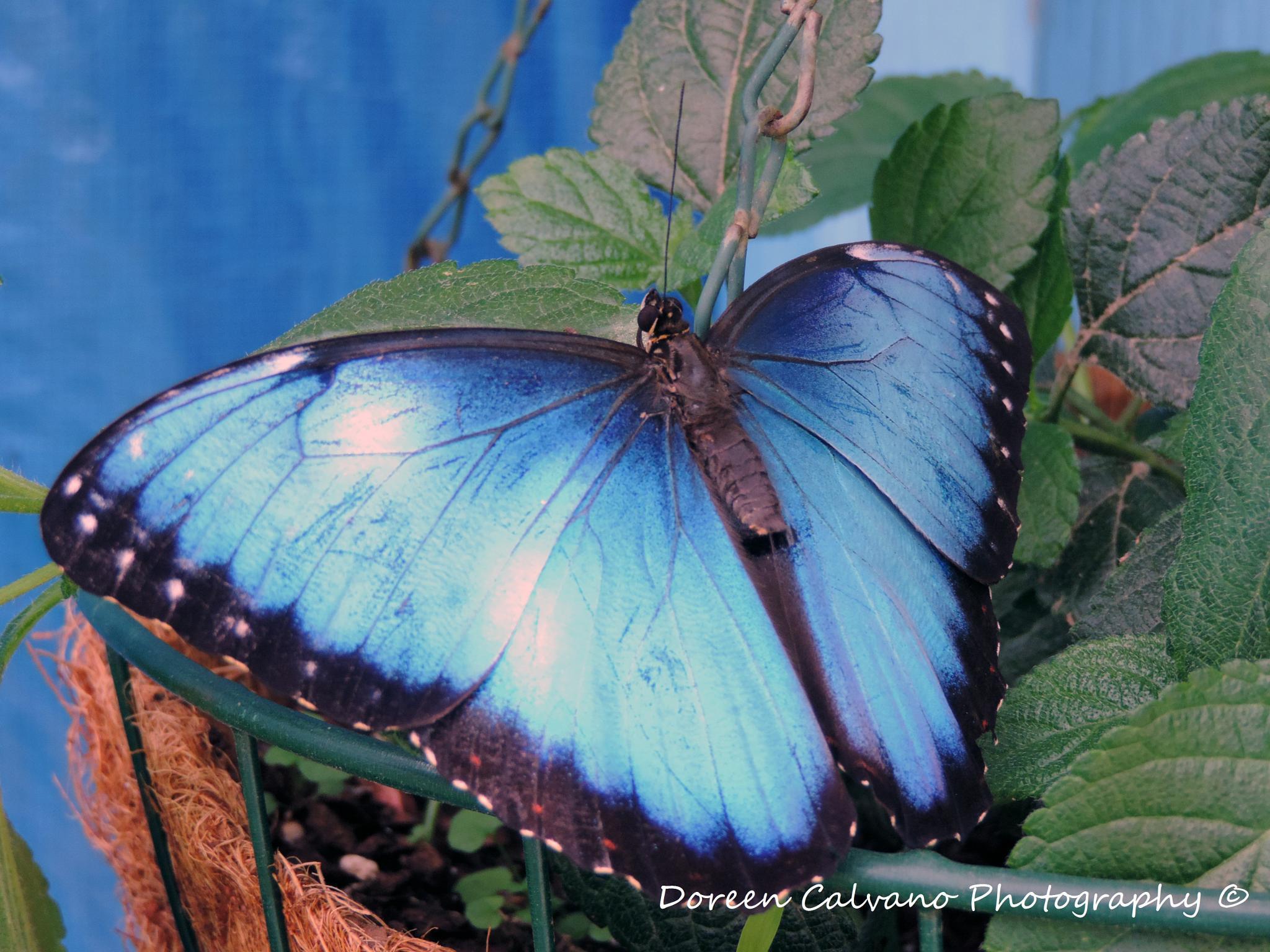 Beautiful Blue Butterfly by doreen.c.calvano