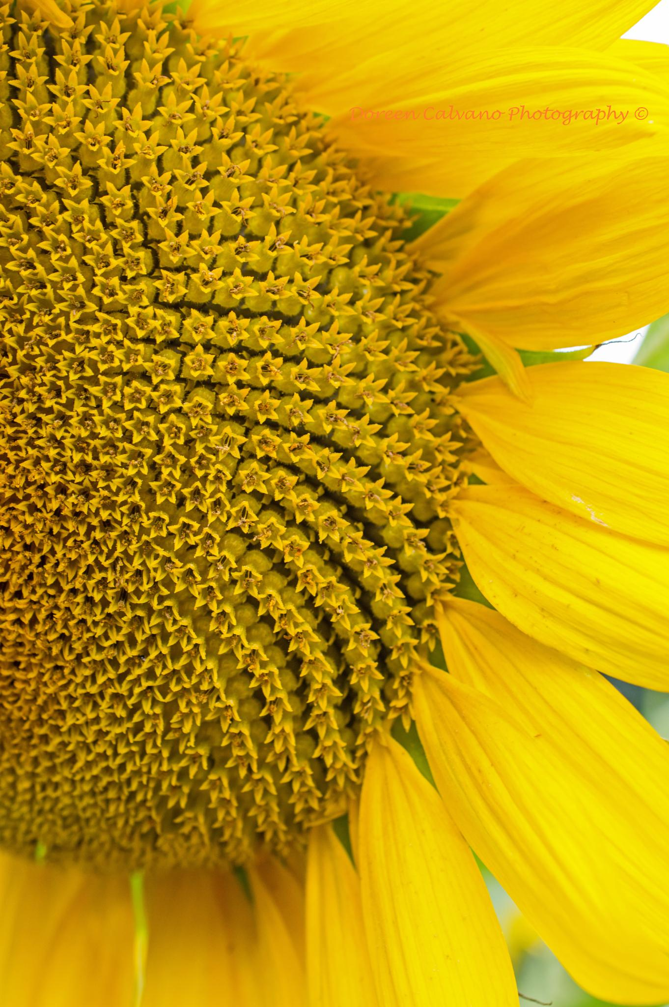 Sunflower Close-up by doreen.c.calvano