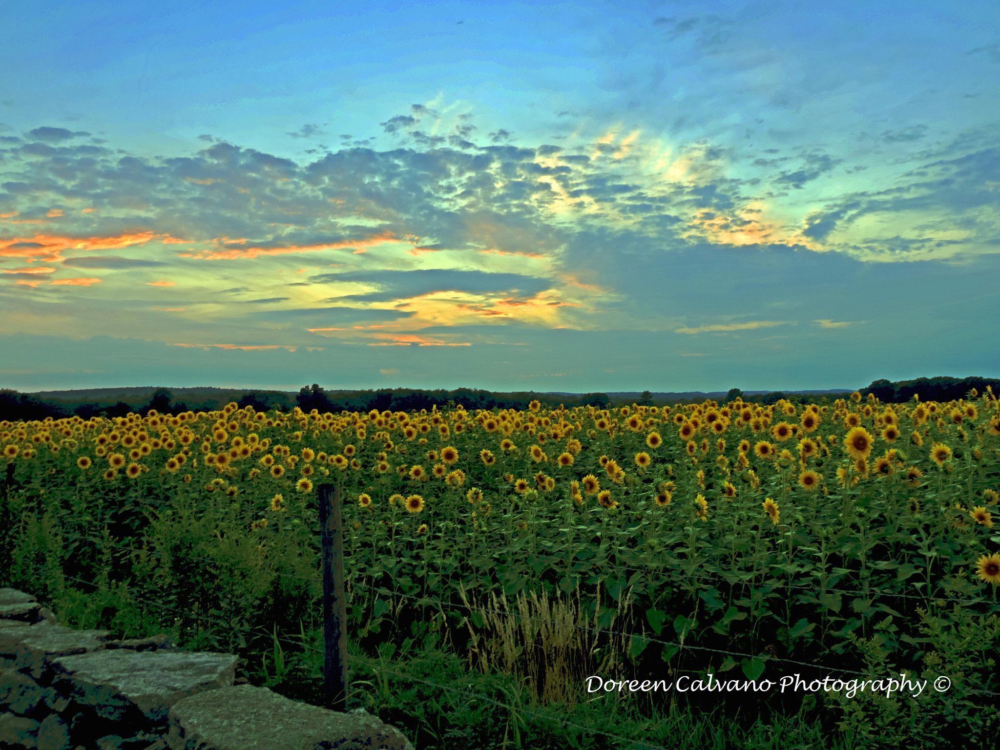 Sea of Sunflowers by doreen.c.calvano