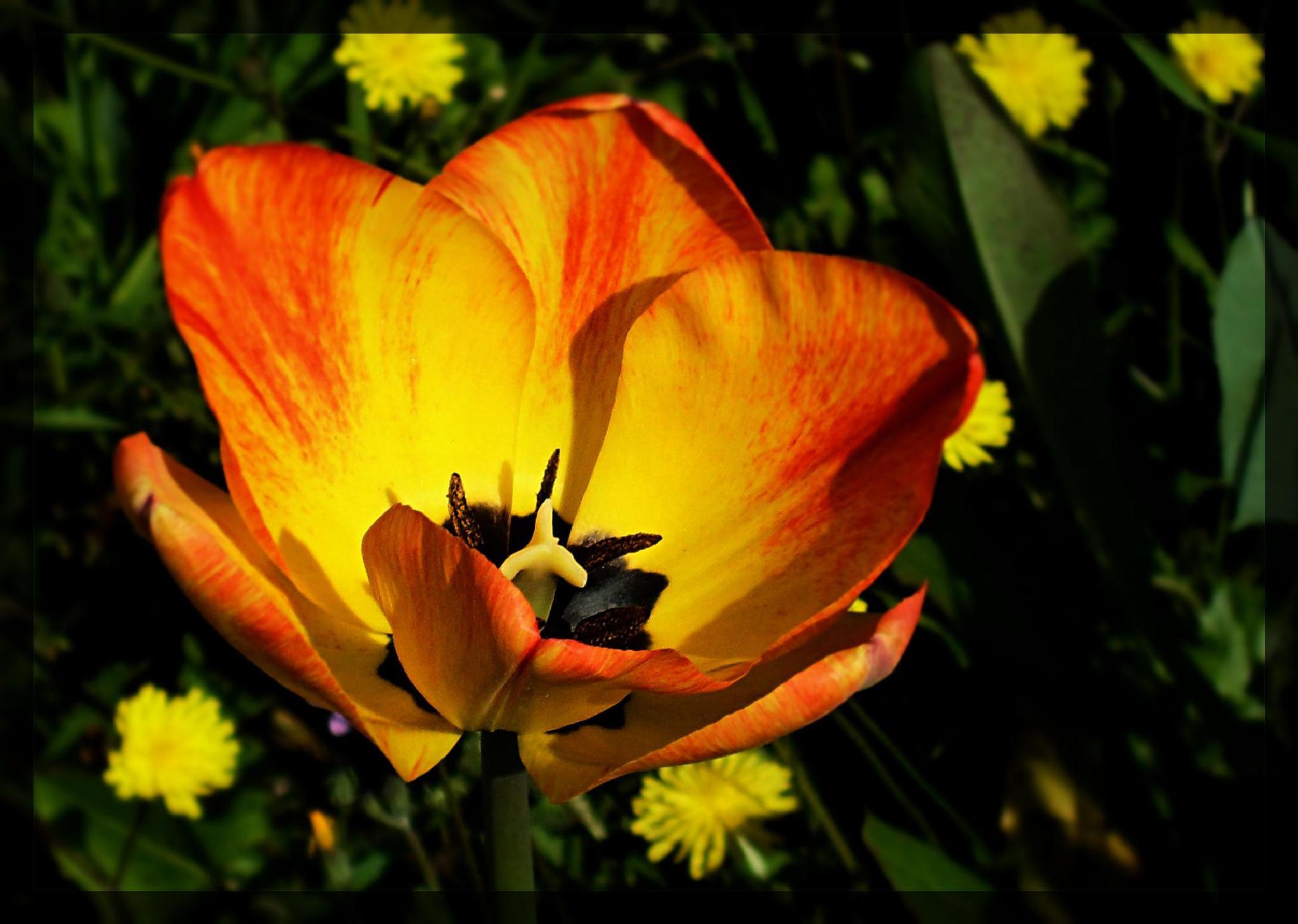 Photo in Macro #macro #orange #yellow #flower #nature #colours #spring #springtime
