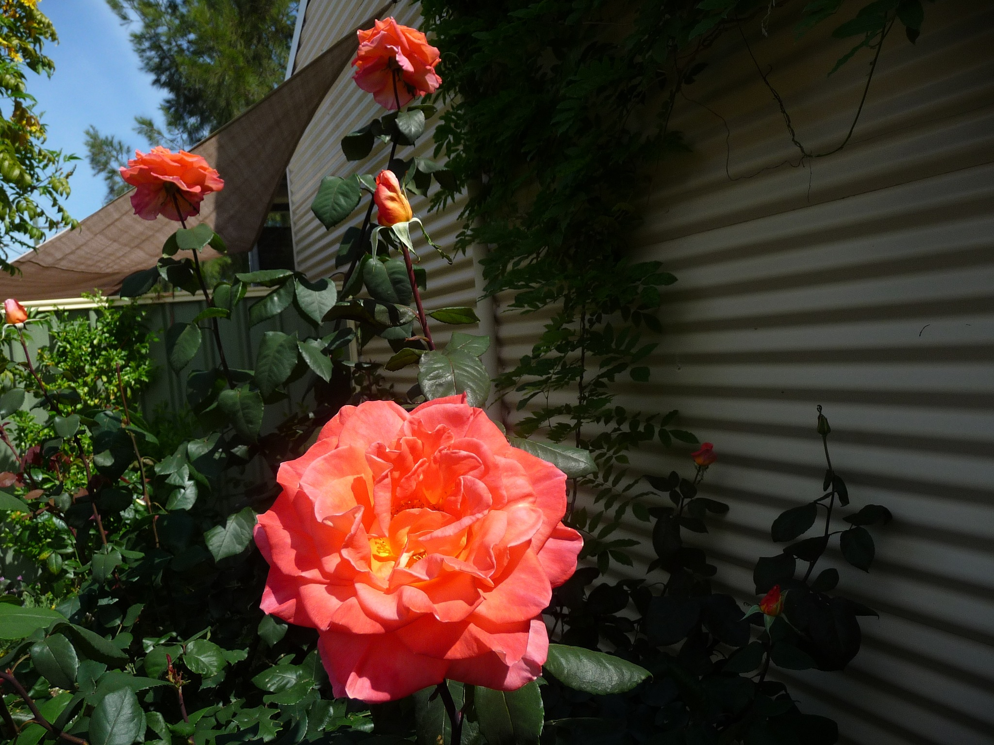 Orange Rose by Lucy E Richards