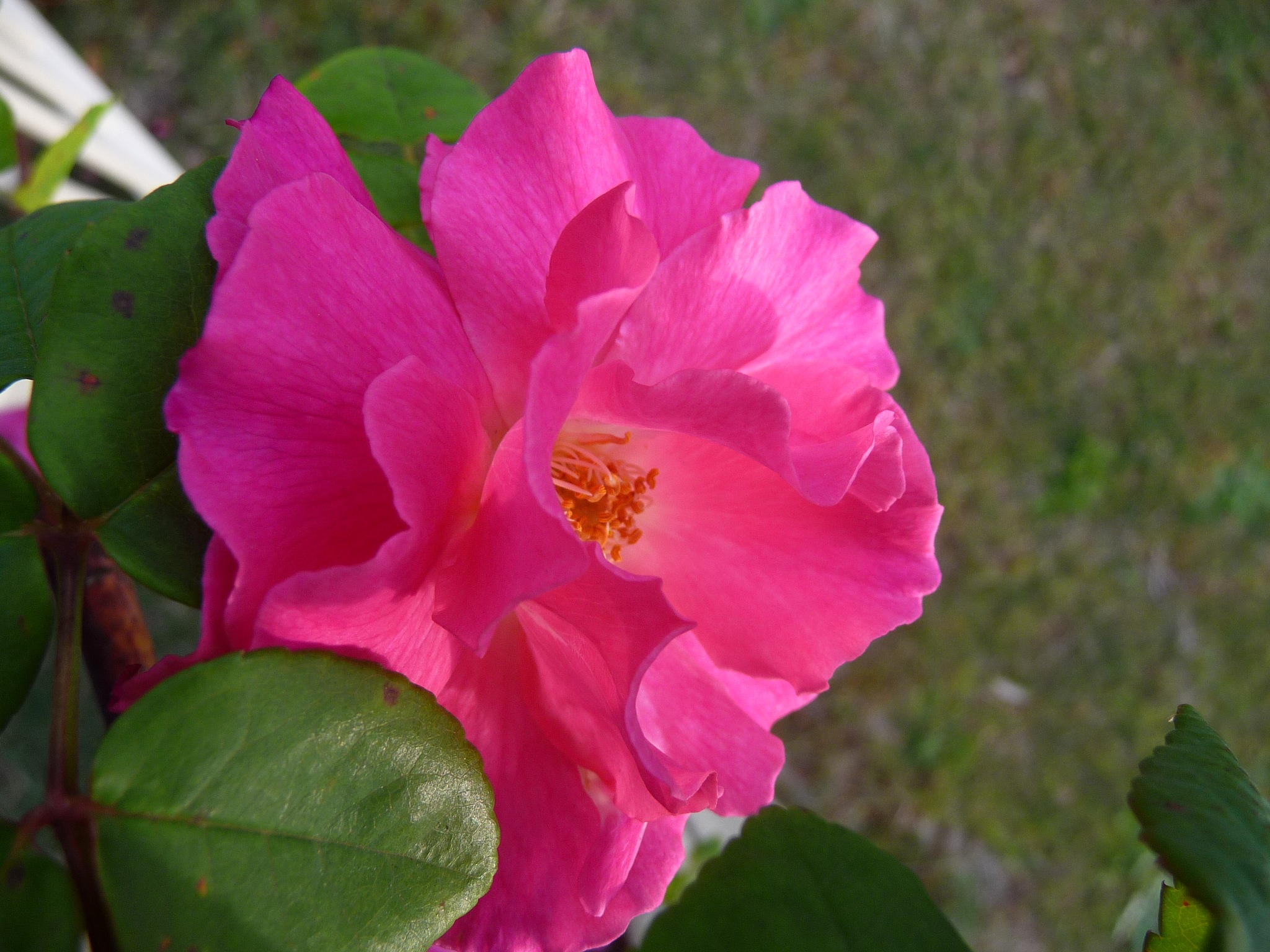 Pink Climbing Rose by Lucy E Richards