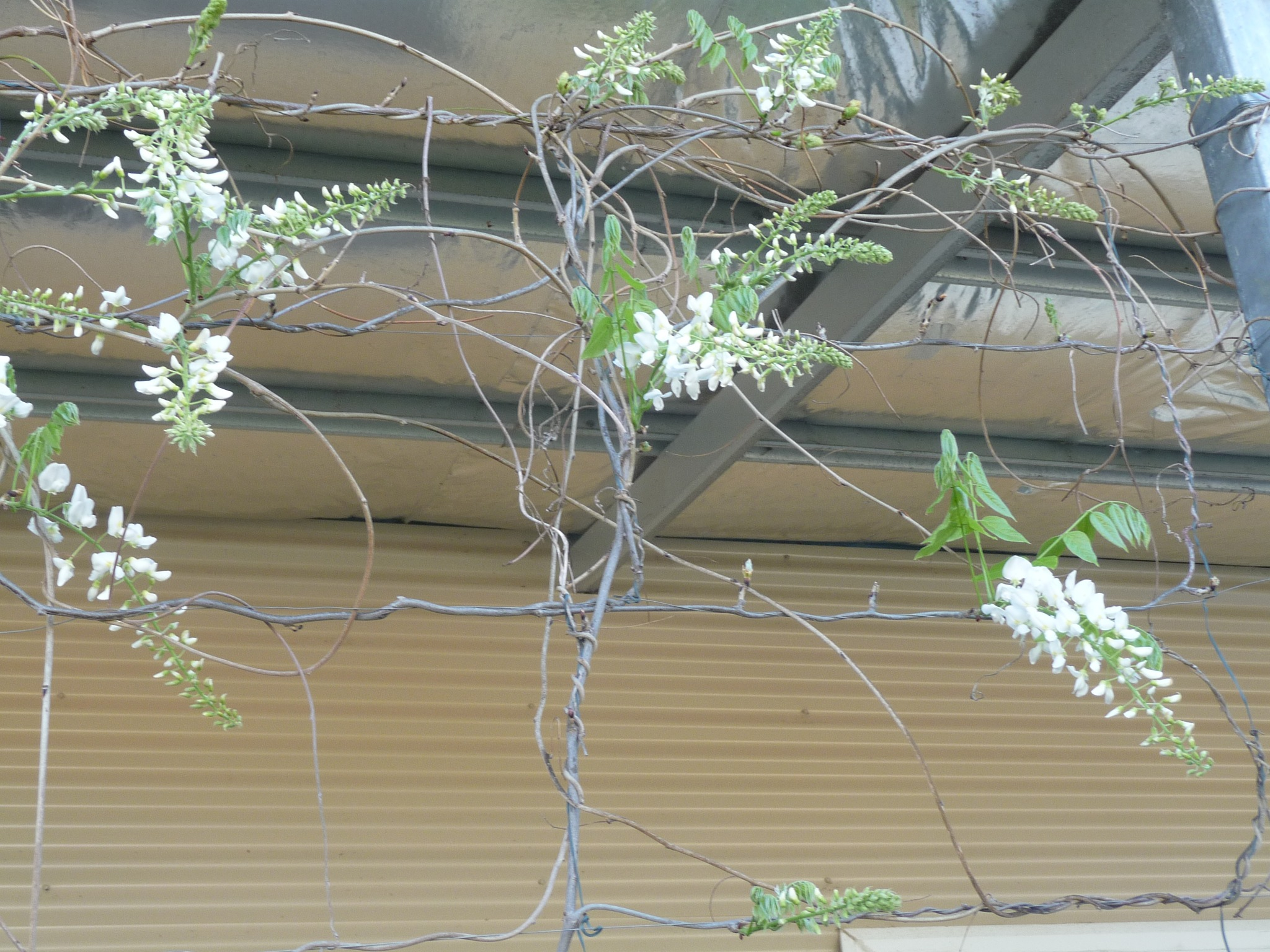 White Wisteria - Busted Out by Lucy E Richards