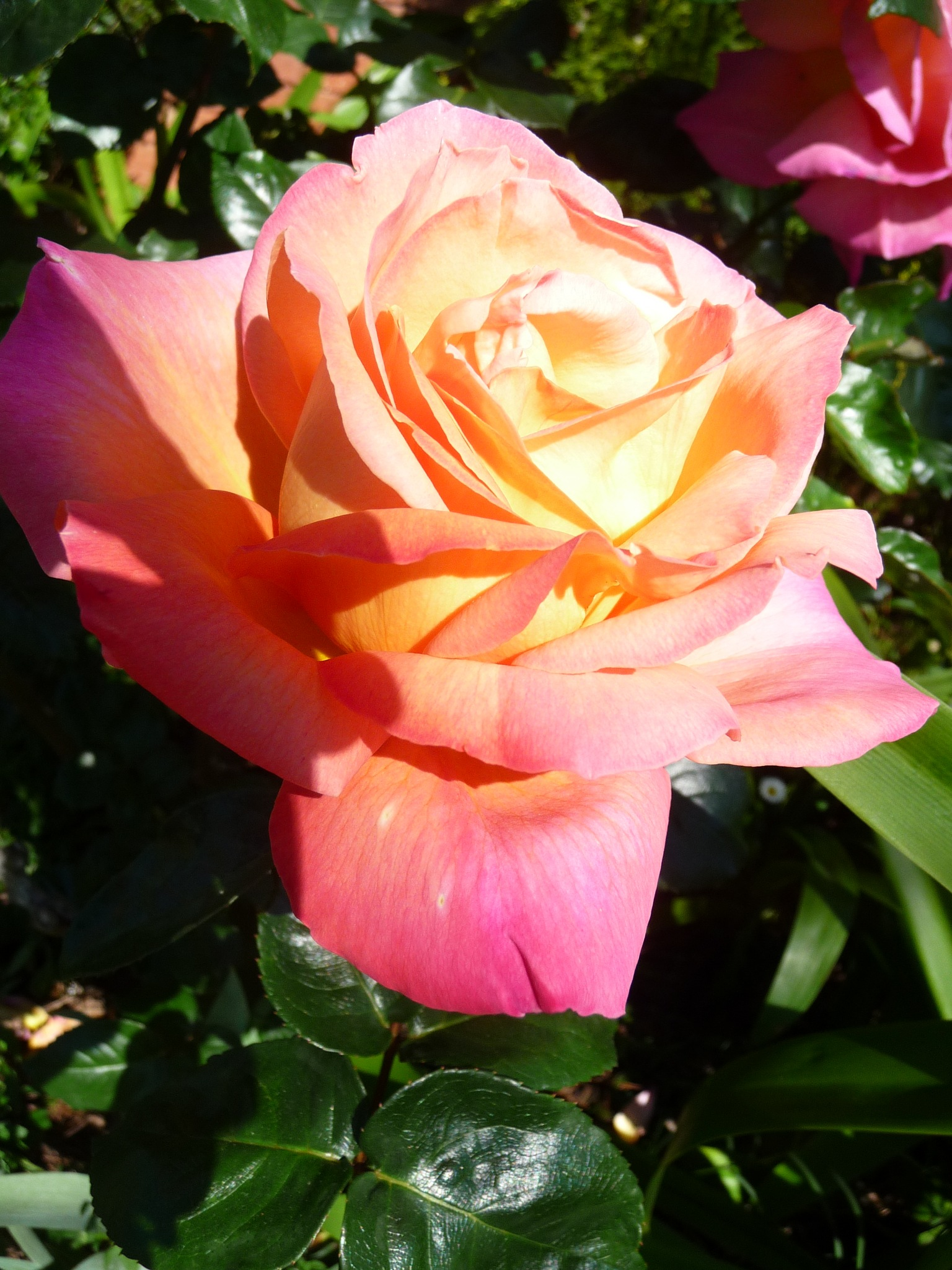 Pink Roses by Lucy E Richards