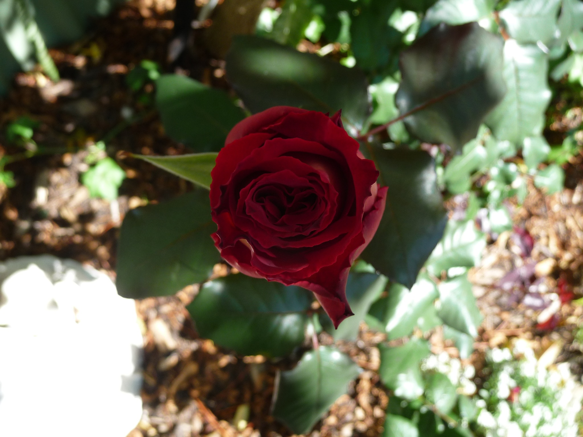 Red Rose by Lucy E Richards