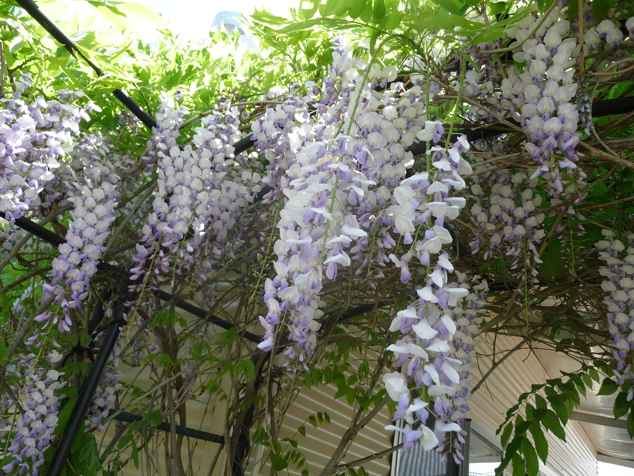 Last Wisteria Show by Lucy E Richards