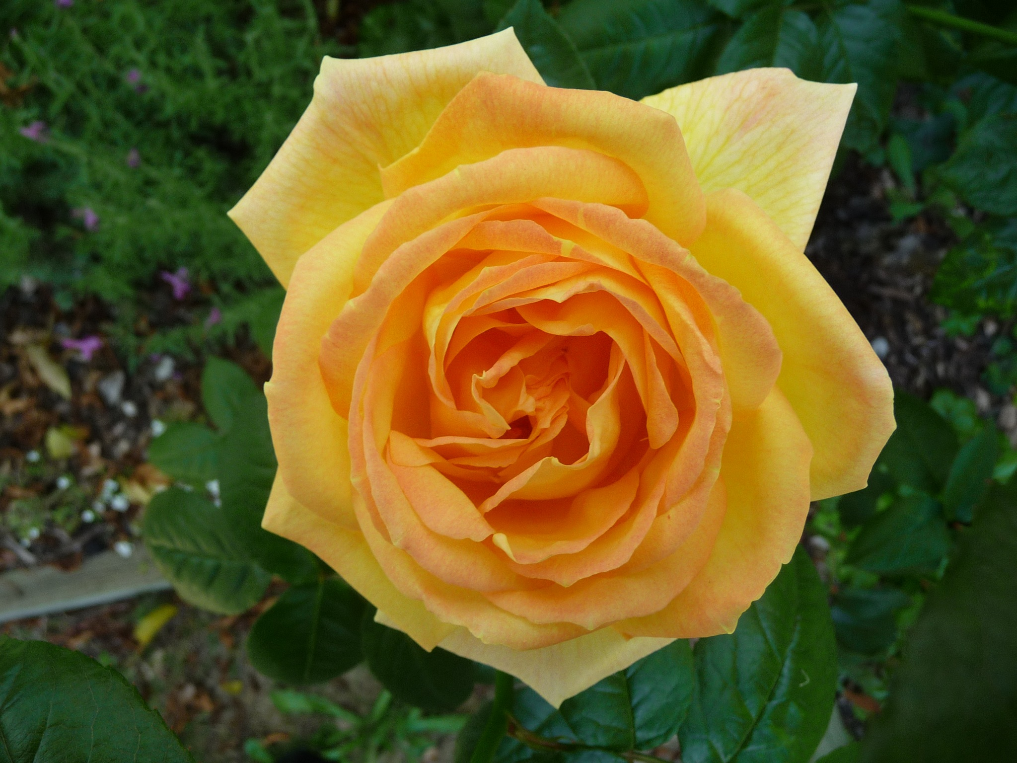 Yellow Rose by Lucy E Richards