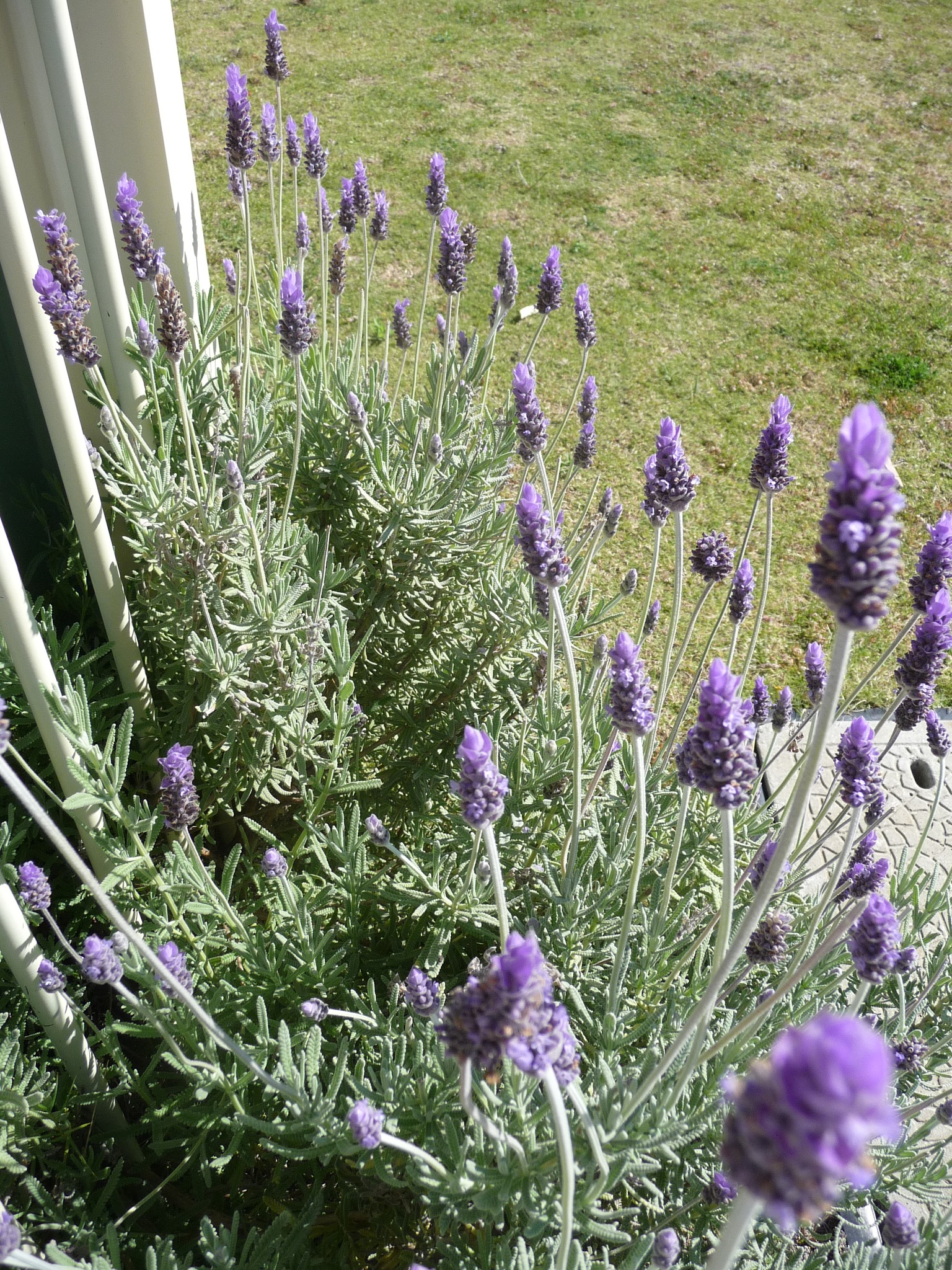 Lavender Blue by Lucy E Richards