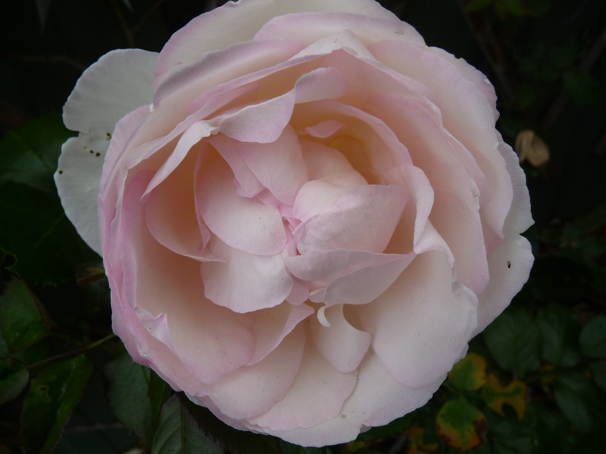 White Climbing Rose by Lucy E Richards