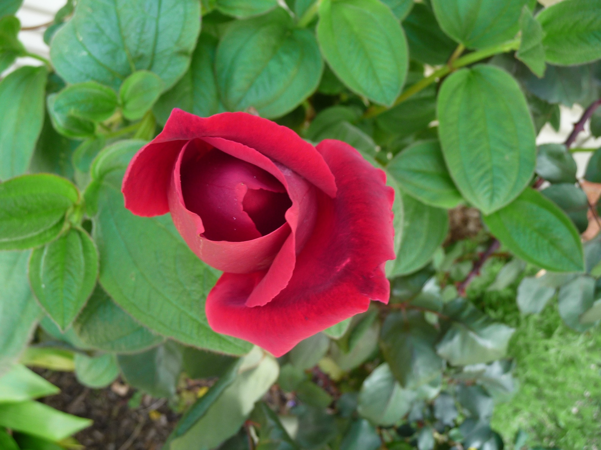 Long Stem Rose by Lucy E Richards
