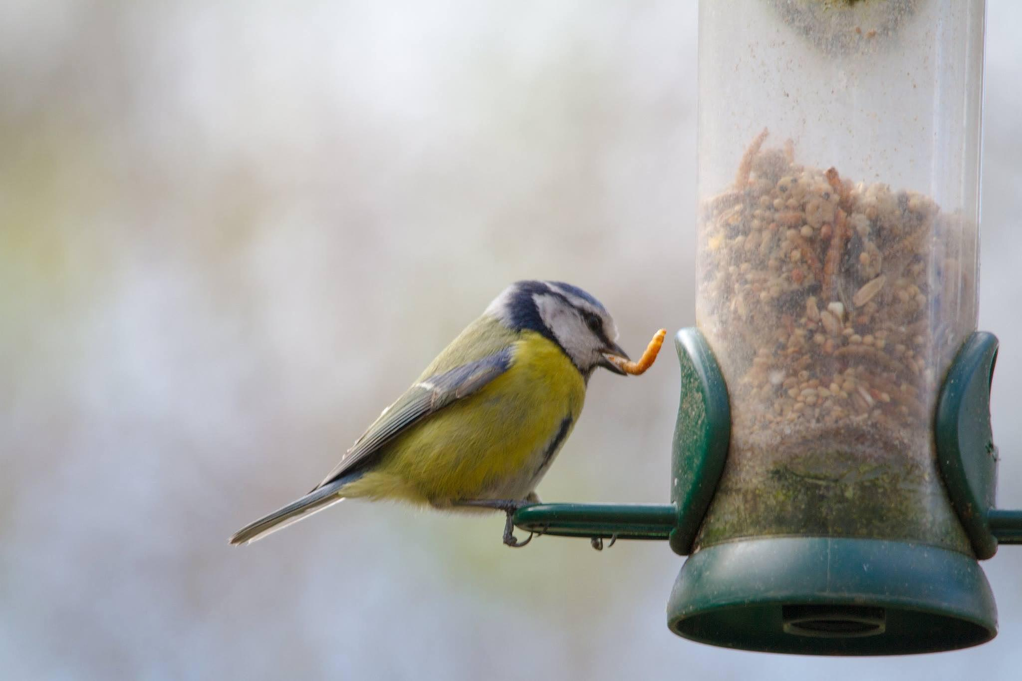 Bluetit gets the worm by paul.hunter.526