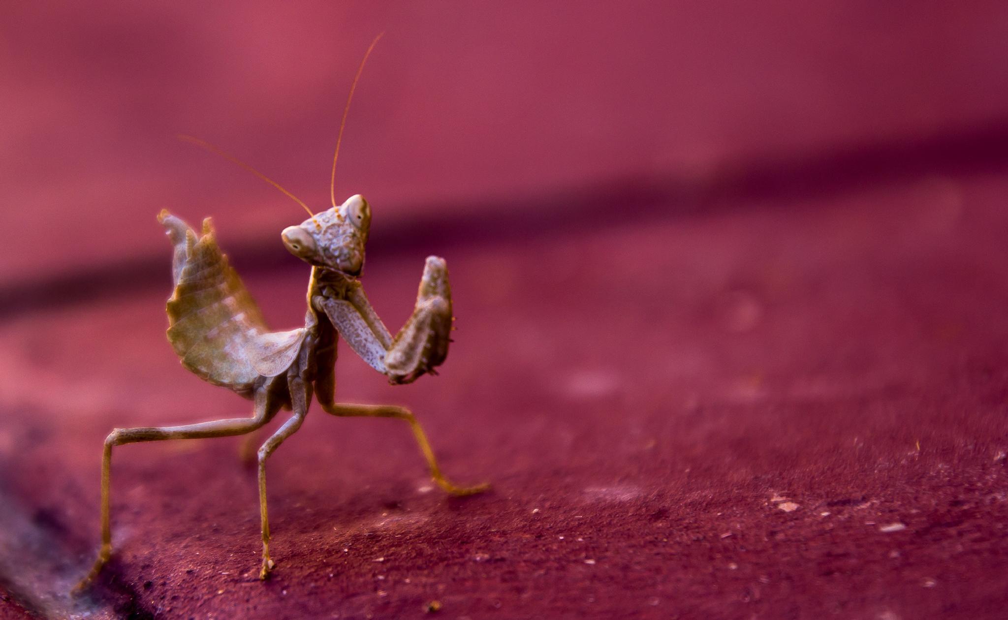 Baby mantis by valentino.villa.5