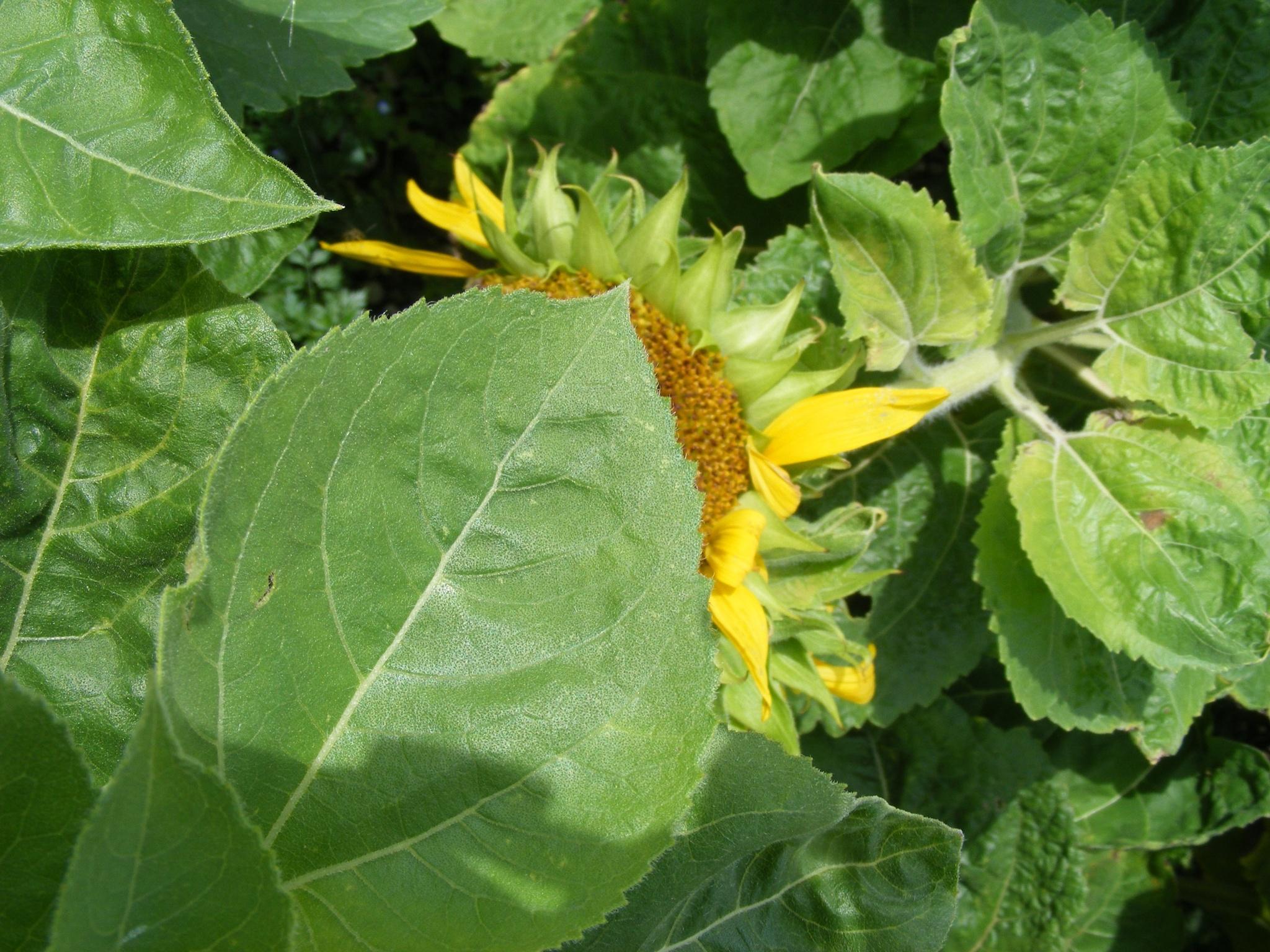 Sonnenblumen. by swernthaler
