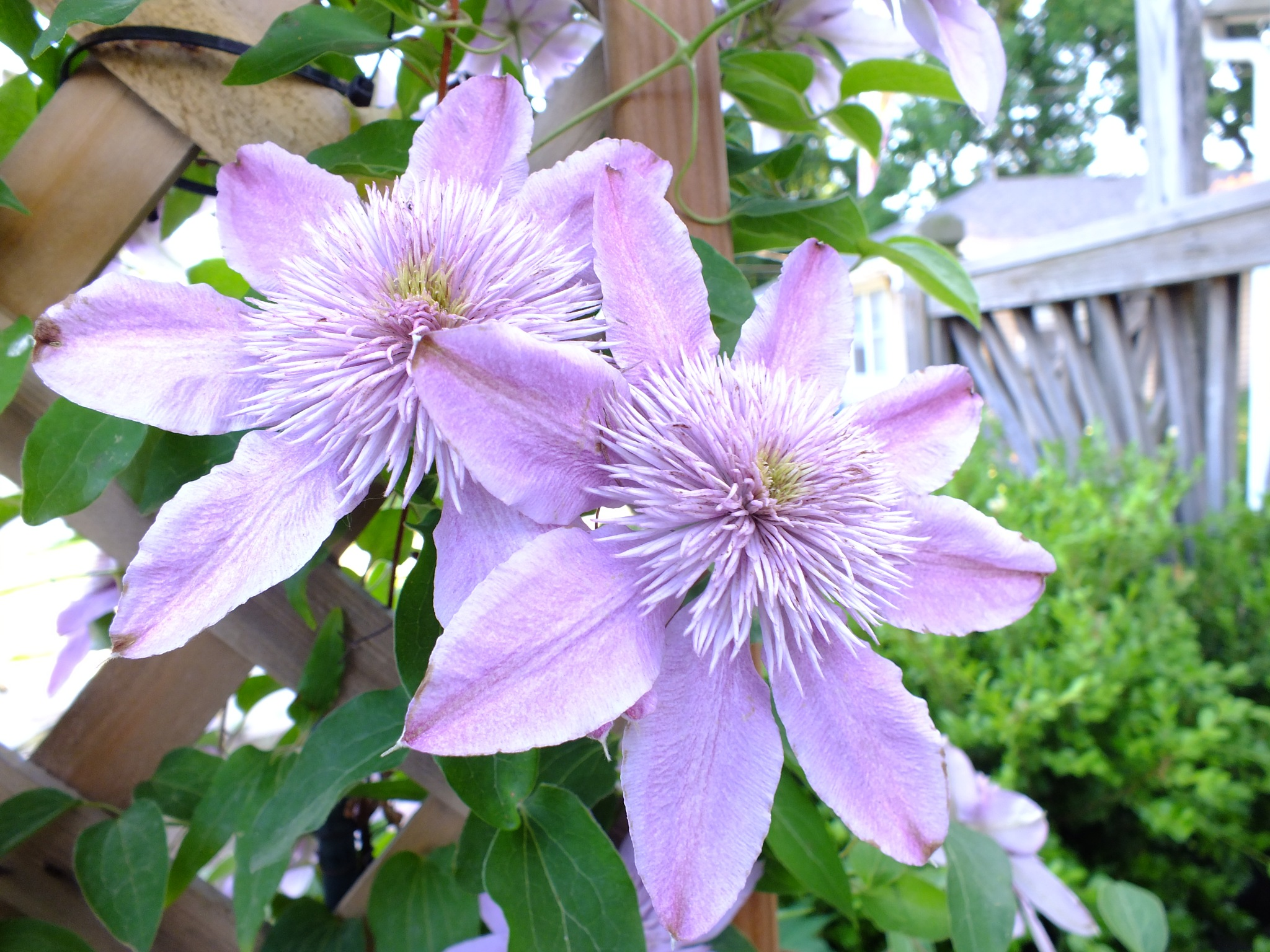 clematis by don.wormsley