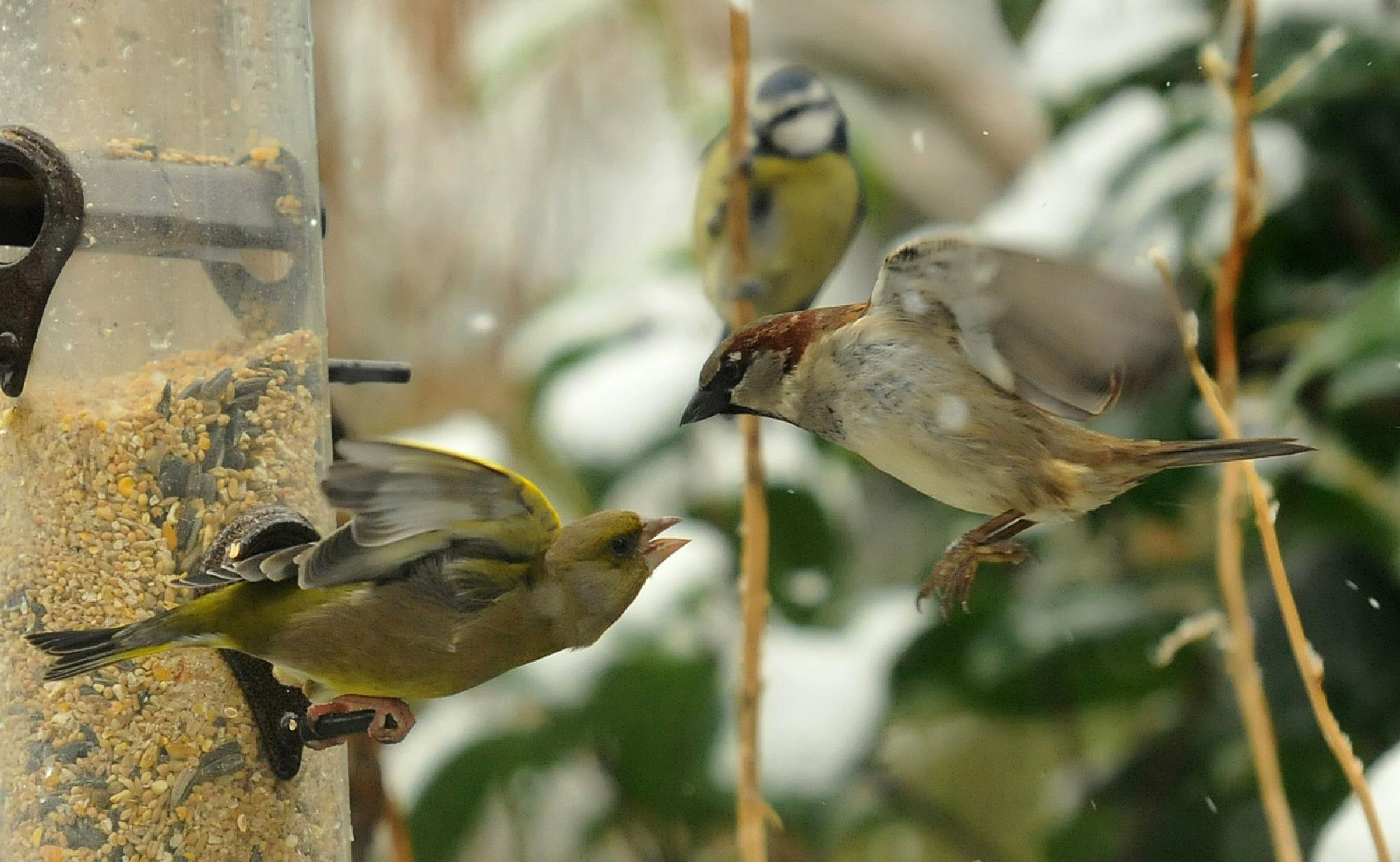 Greenfinch V The Sparrow by Paul.Taylor