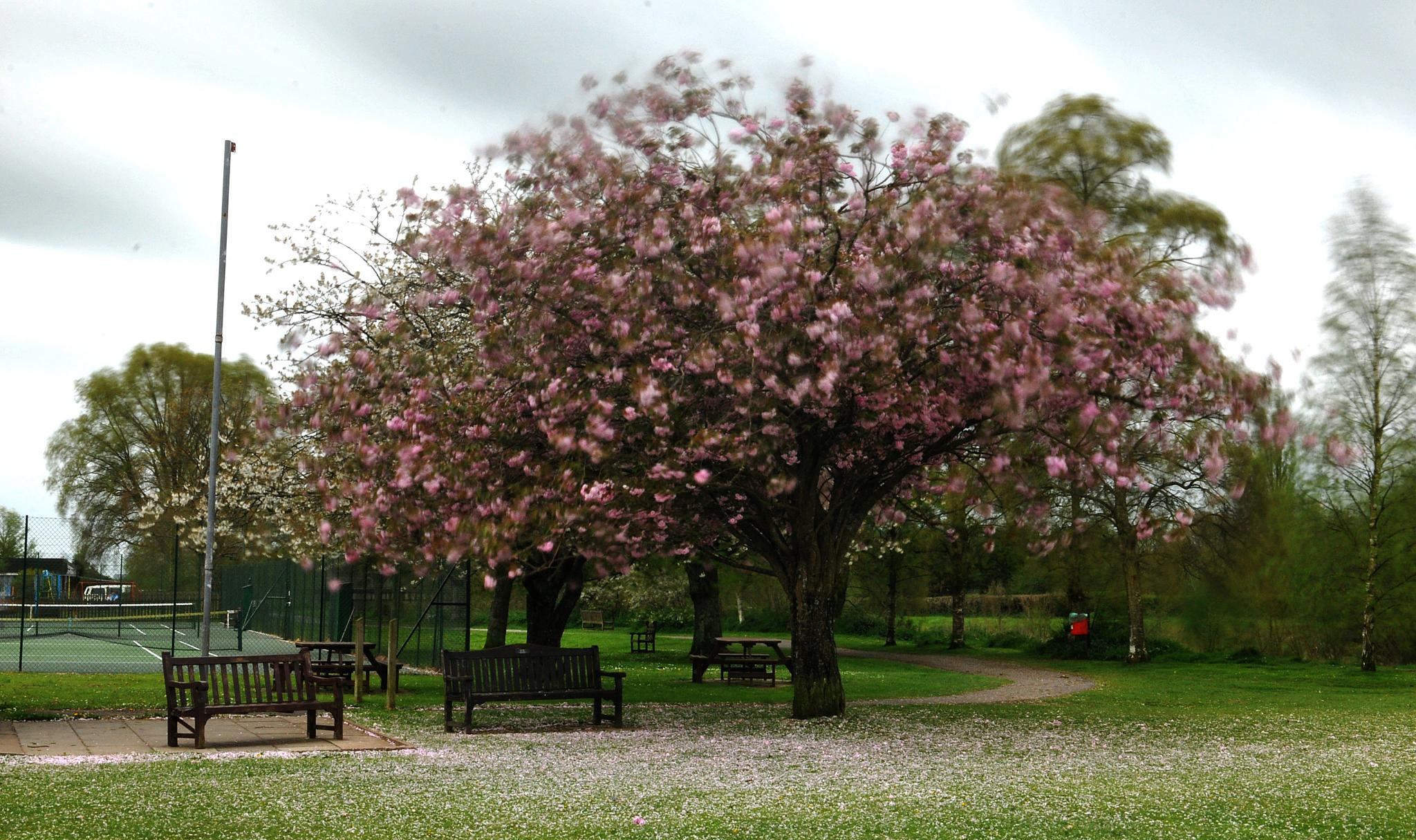 Blossom in the wind by Paul.Taylor