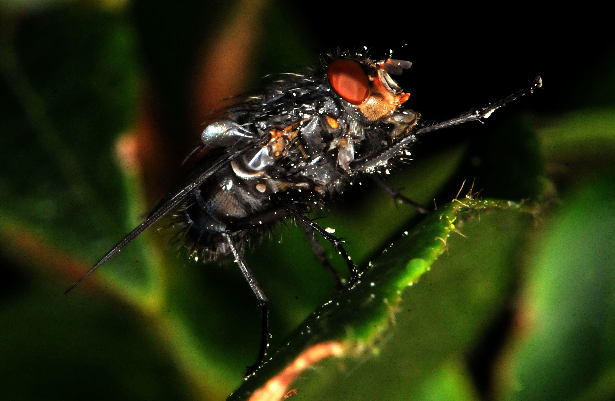 Fly on ivy by Paul.Taylor