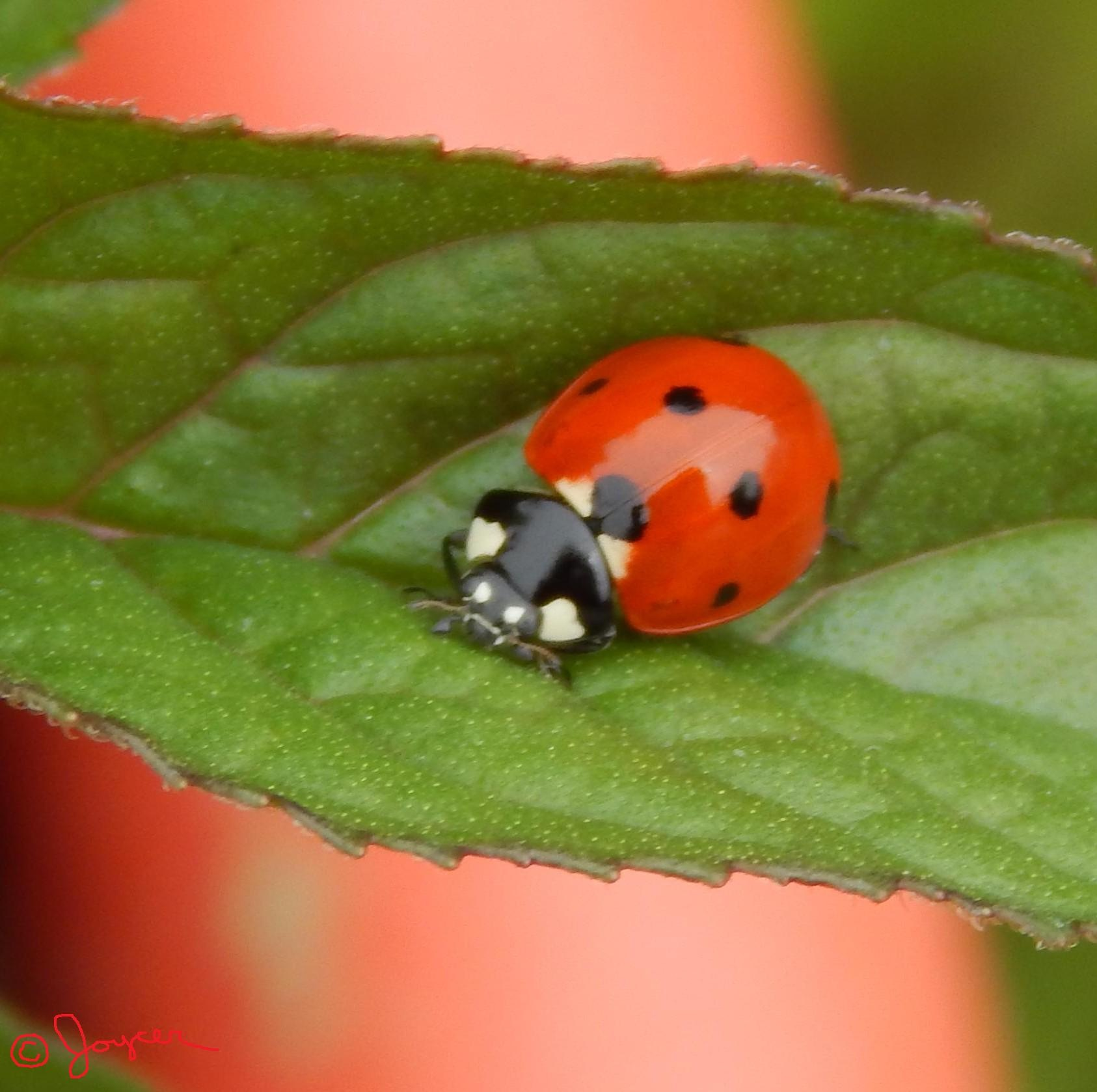 Lady Bug by Joyce Geissinger