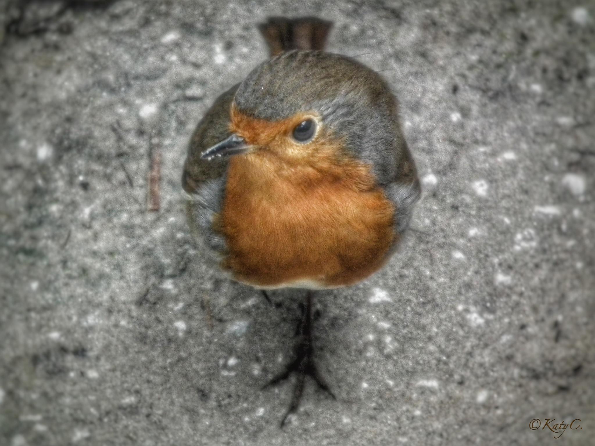 Photo in Animal #bird #pettirosso