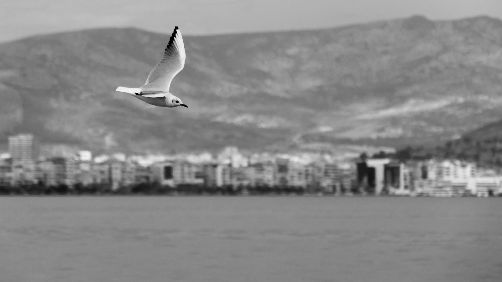 Photo in Black and White #black and white #black&white #bnw #sea #birds #seagull #flying #black & white