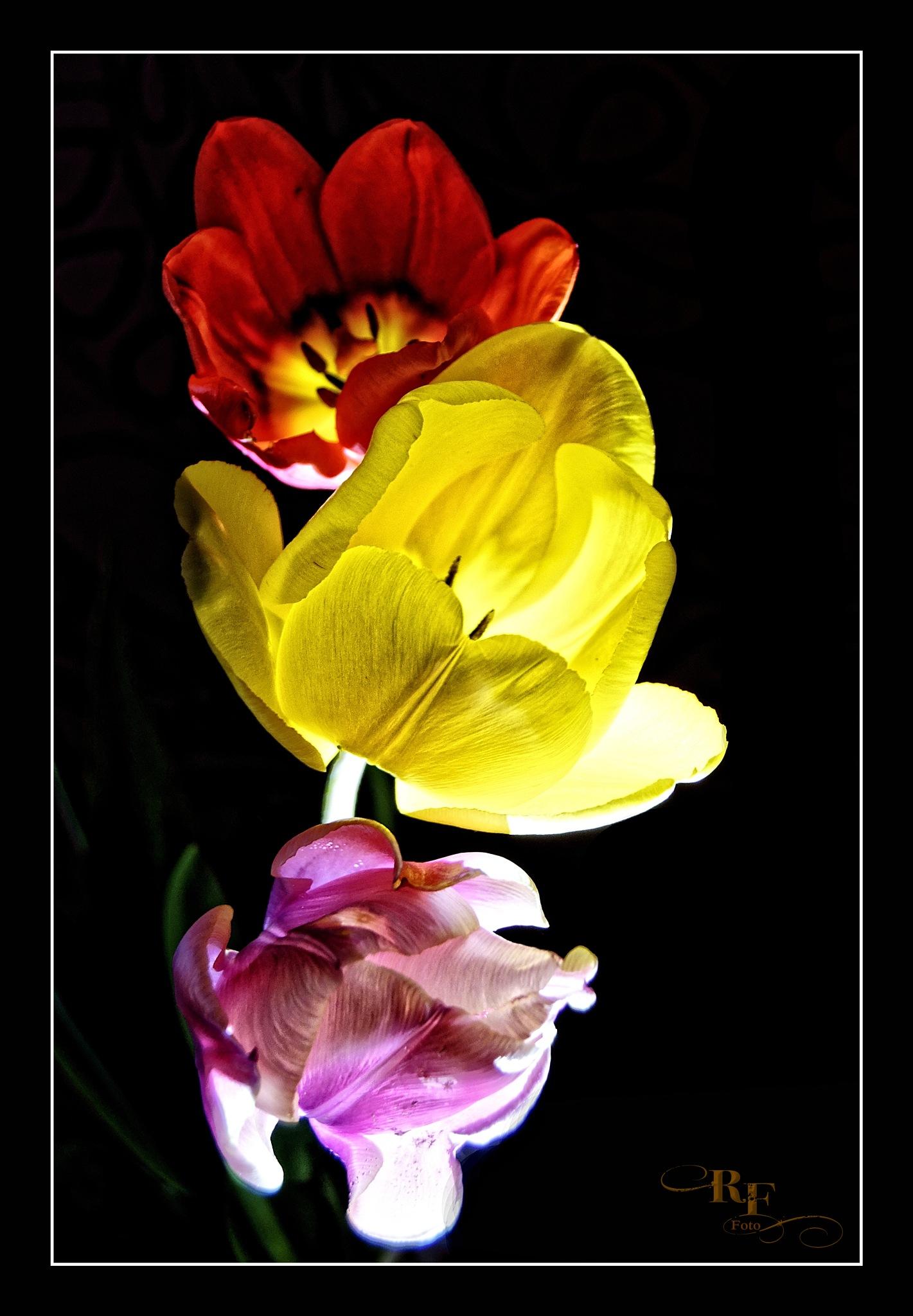 Tulpen im Licht by RoPaFue