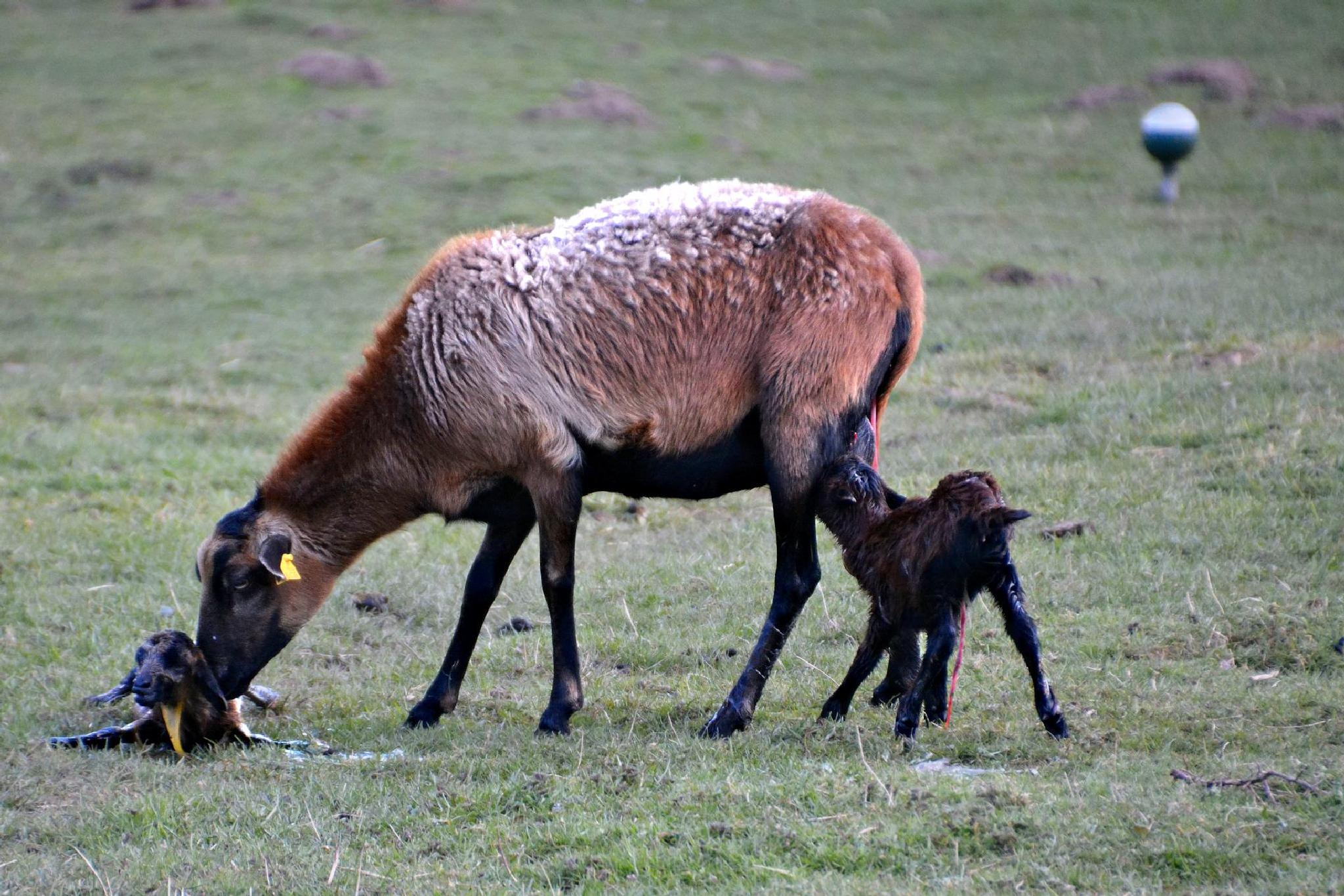 2 newly born Easter lambs by RoPaFue