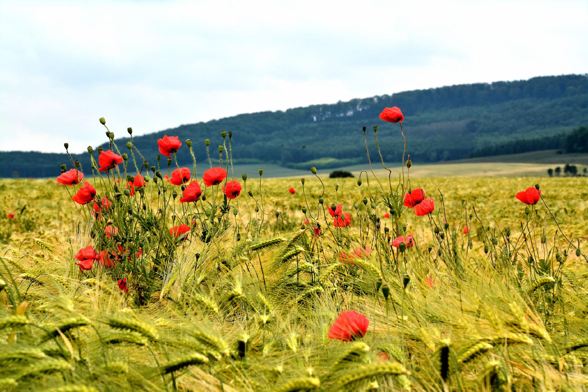 roter Mohn 2 / red poppy 2 by RoPaFue